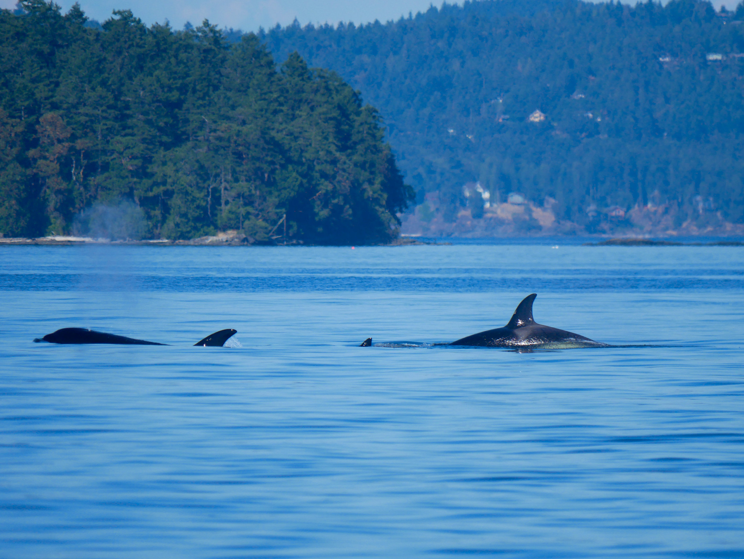 3 members of the T99 pod surfacing. Photo by Alanna Vivani.