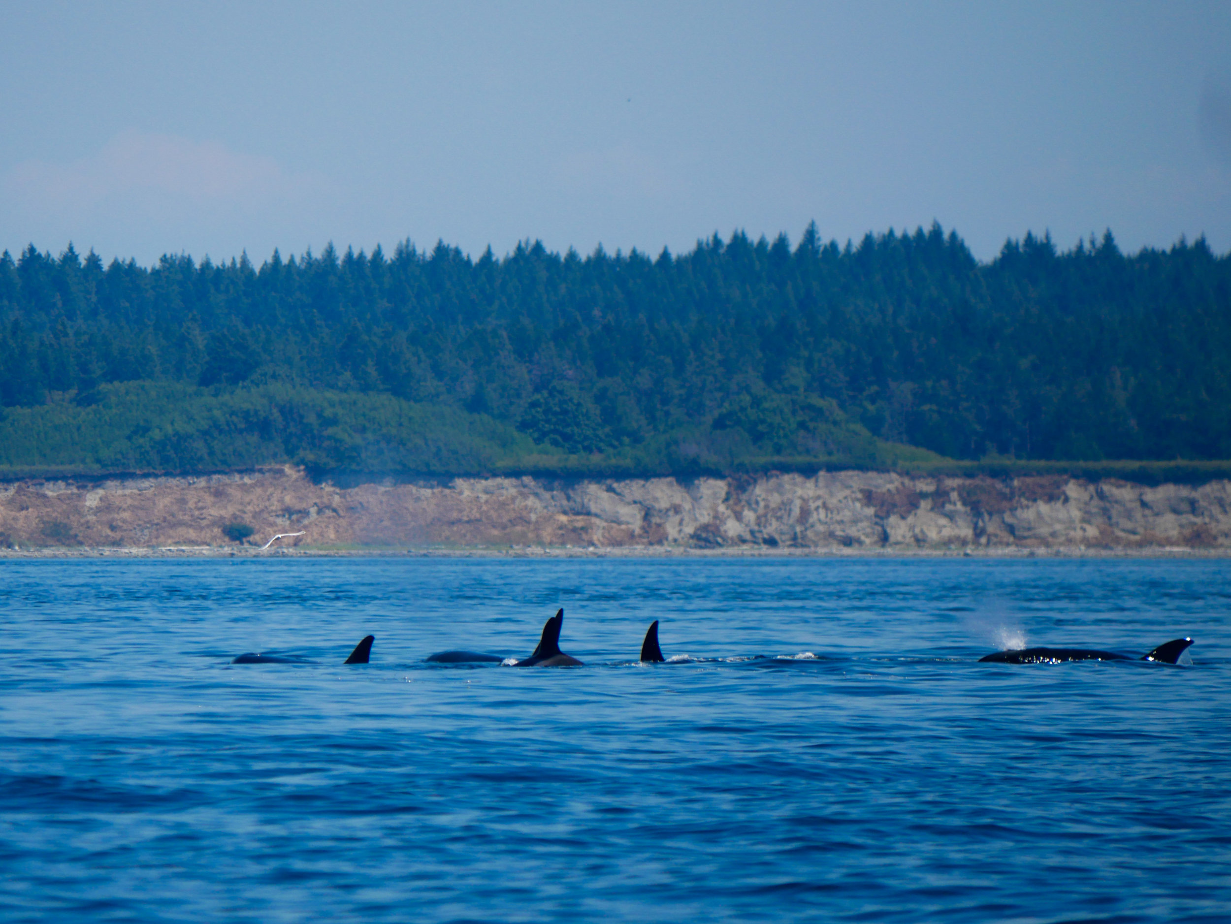 I spy 5 orcas, how about you? Photo by Val Watson.