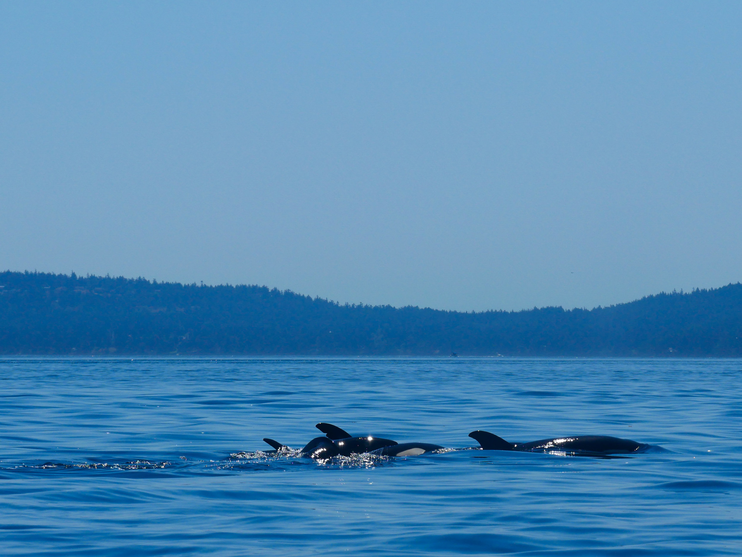 Check out the nick on the dorsal fin in the back! Photo by Val Watson.
