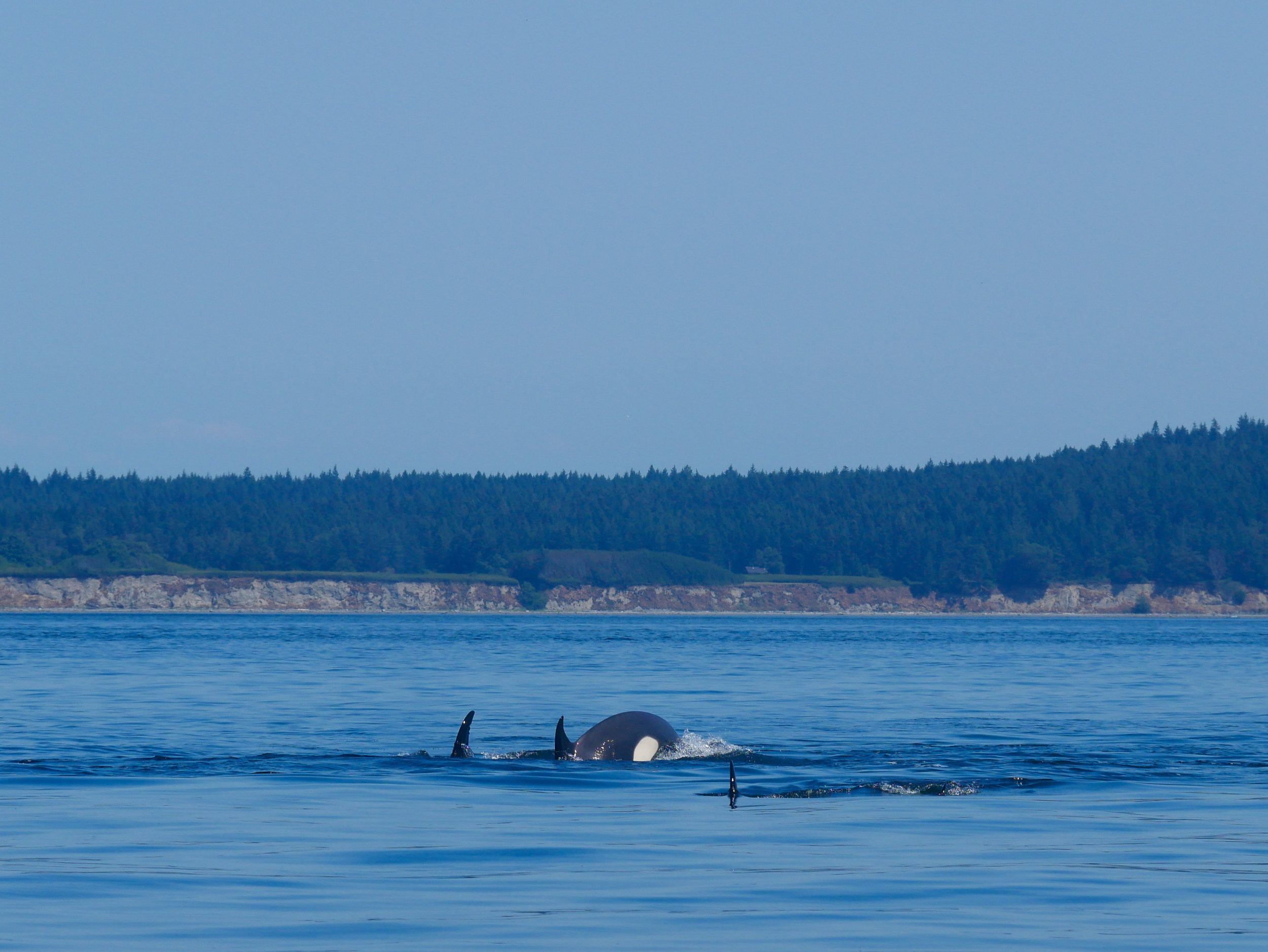 Going for a deep dive means we get to see more of the tail end of the orca. Photo by Val Watson.