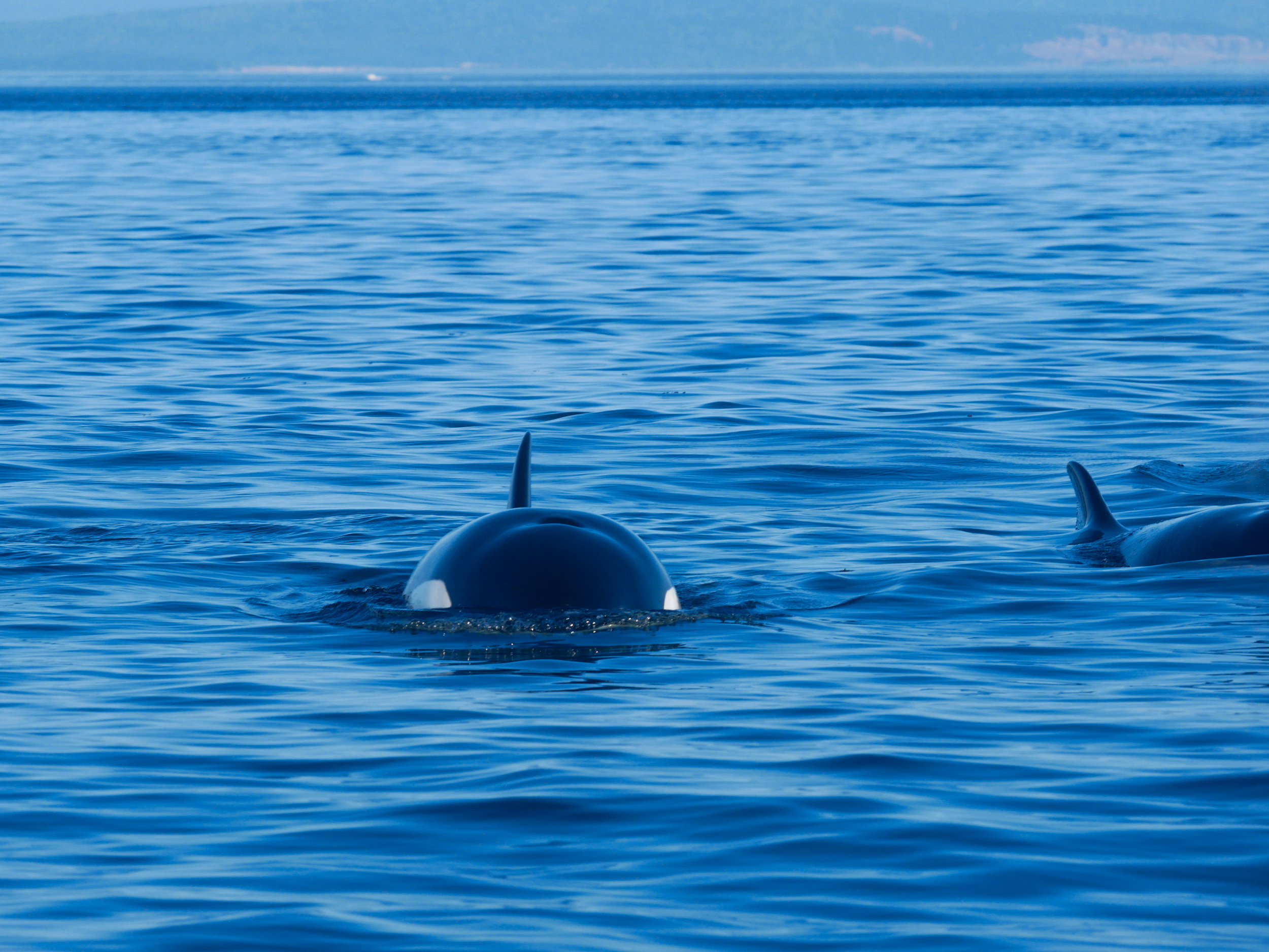 Eyespots, blowhole, and dorsal fin all in one shot! Unlike humpbacks, orcas only have one blowhole. Photo by Val Watson.