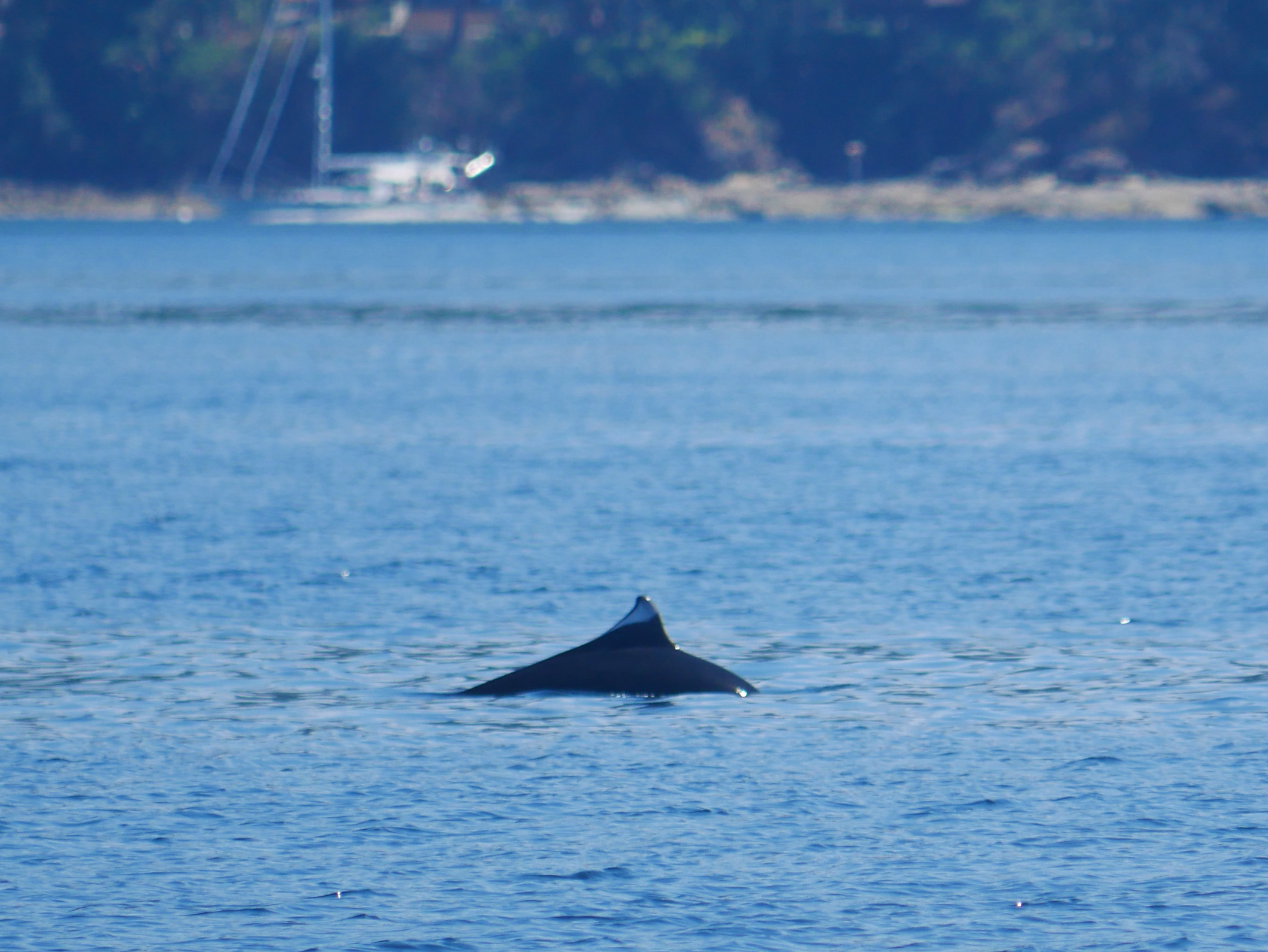 Dall's porpoise surfacing, check out the colouration on the dorsal fin! Photo by Rodrigo Menezes.