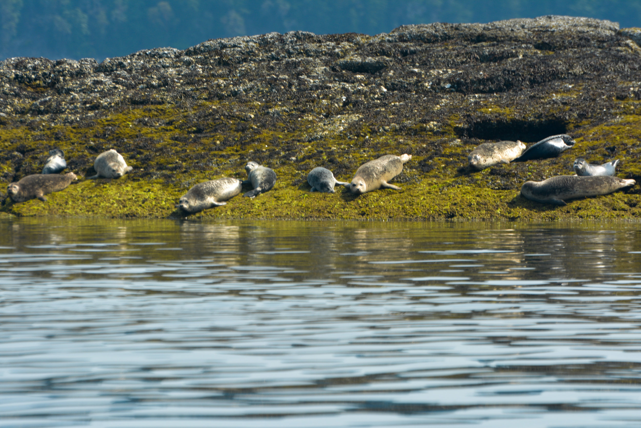 Harbour seals hauled out on the rocks covered in algae. Photo by Rodrigo Menezes.