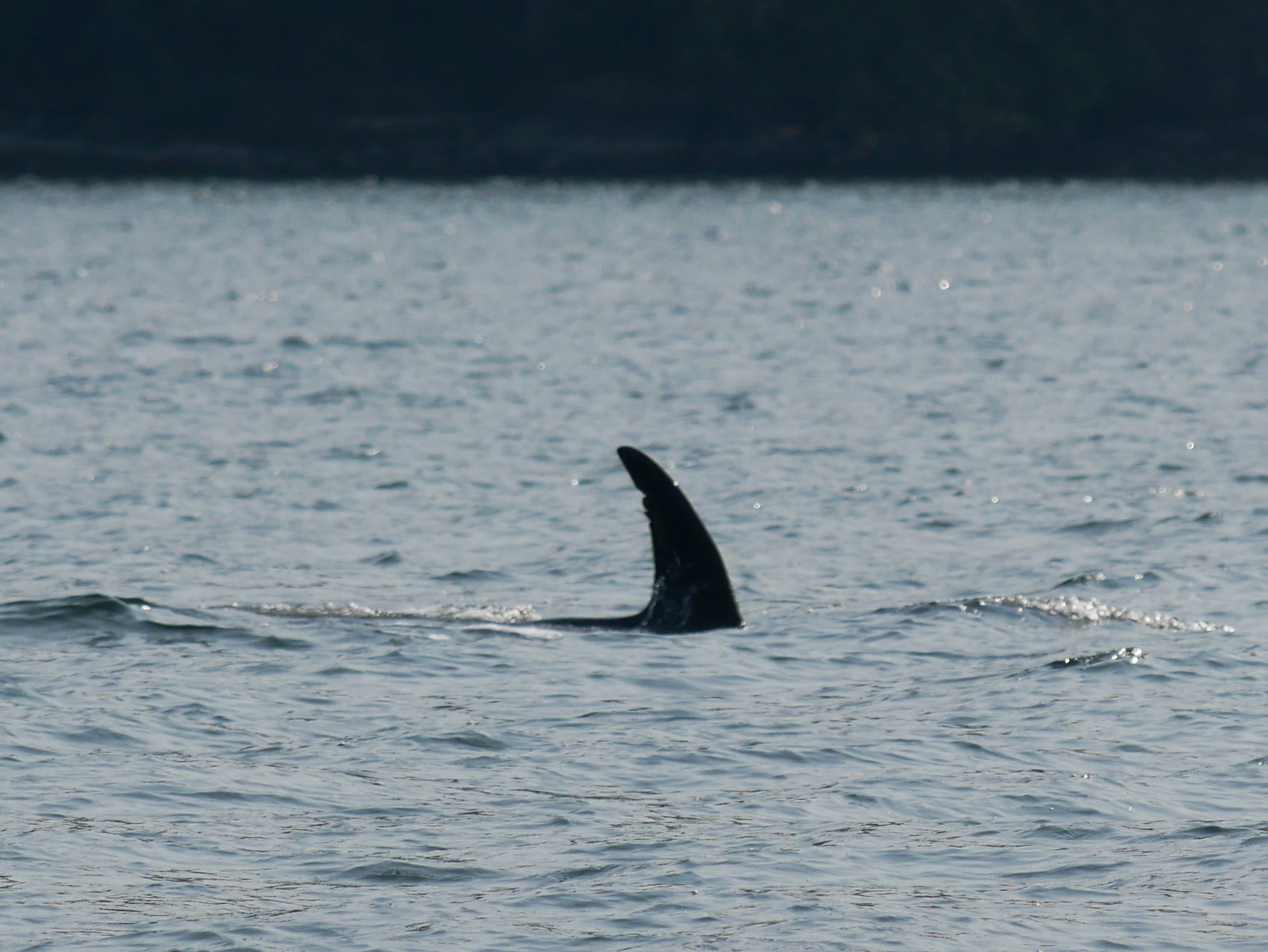 T99B's dorsal fin with the nick. Photo by Val Watson.