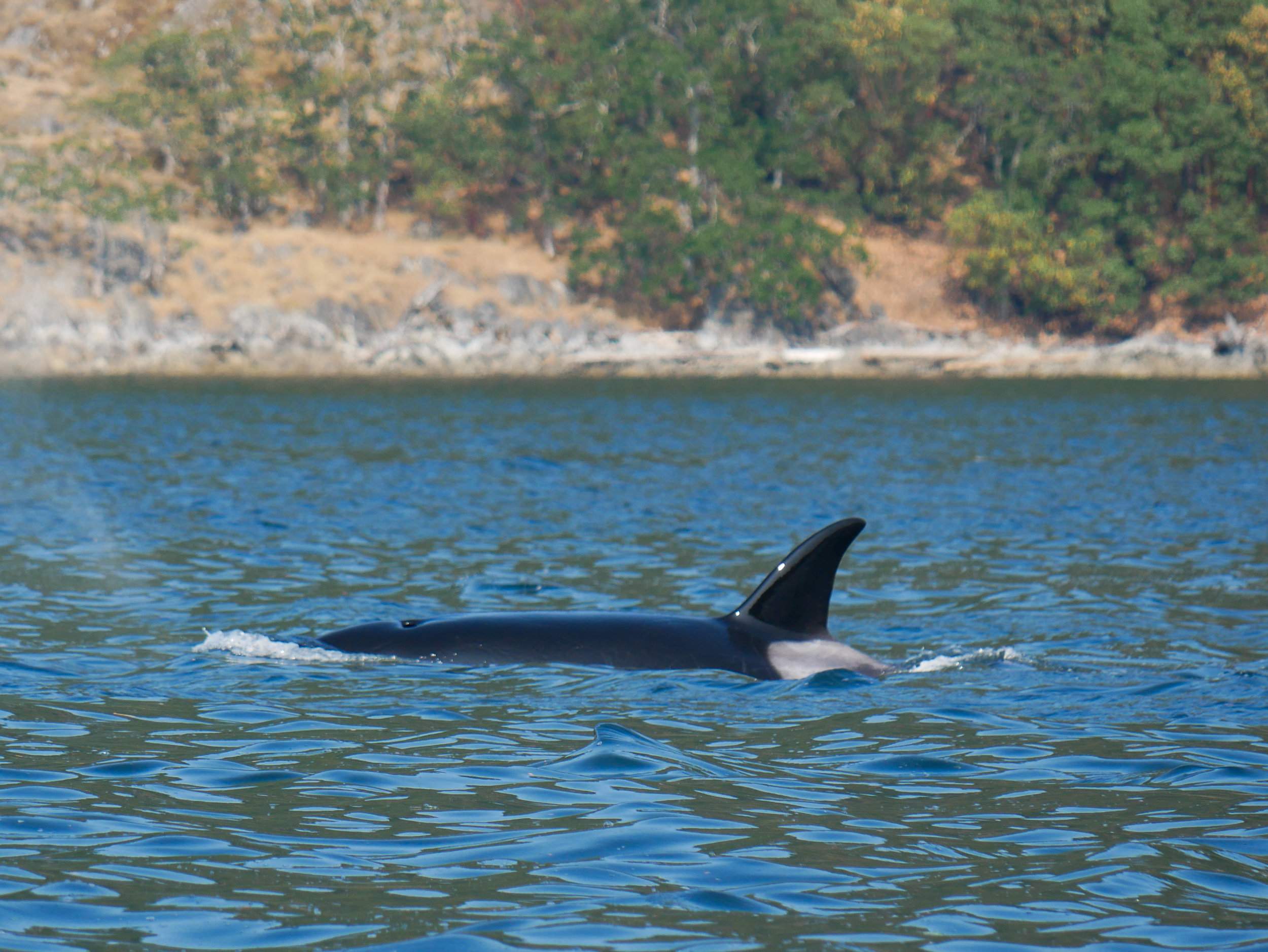The orcas look so shiny once they've surfaced and the sun reflects off their west bodies. Photo by Val Watson.