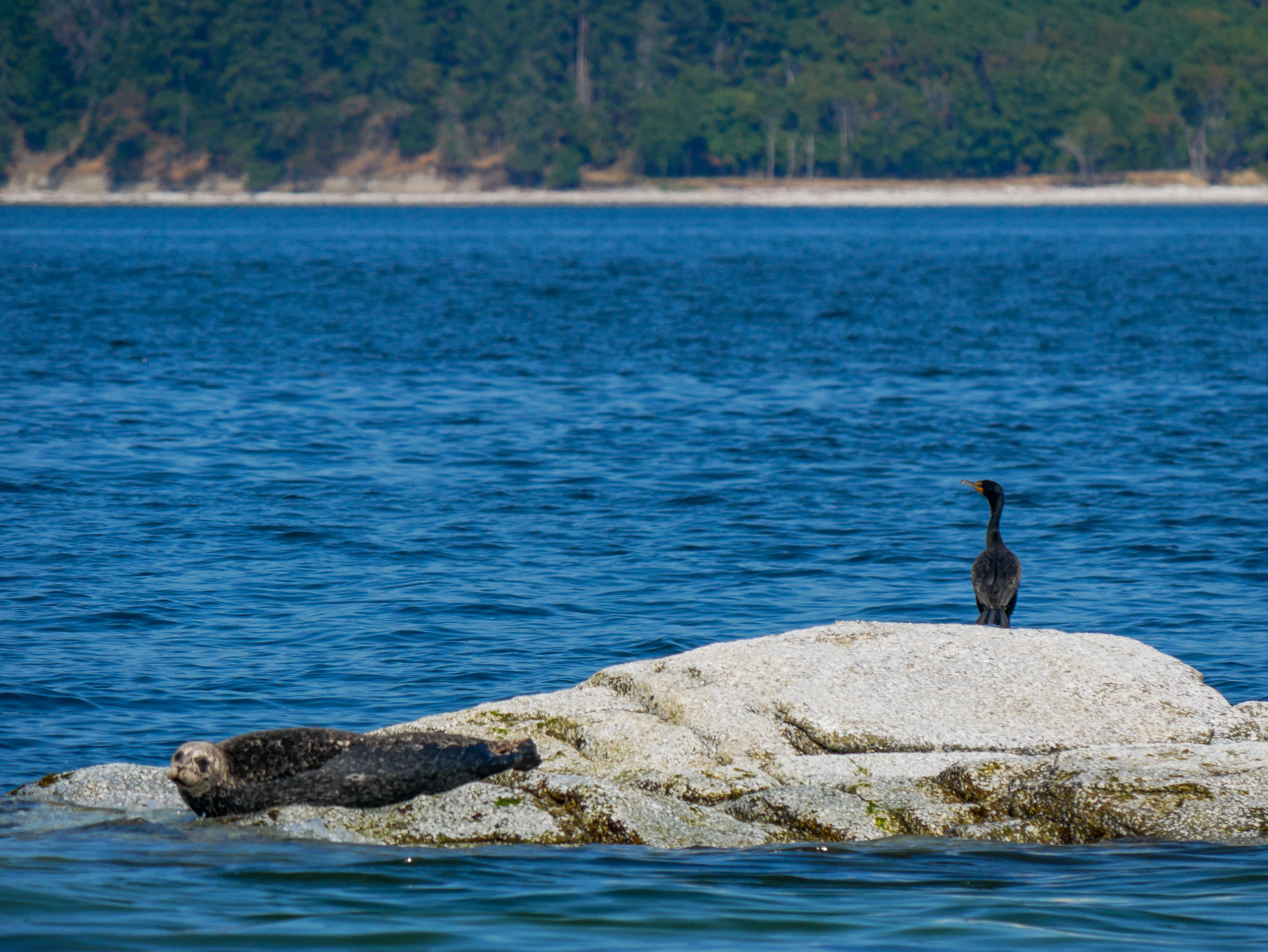 Harbour sealed (left) hauled on near Miami Island and a cormorant to the right. Photo by Alanna Vivani.