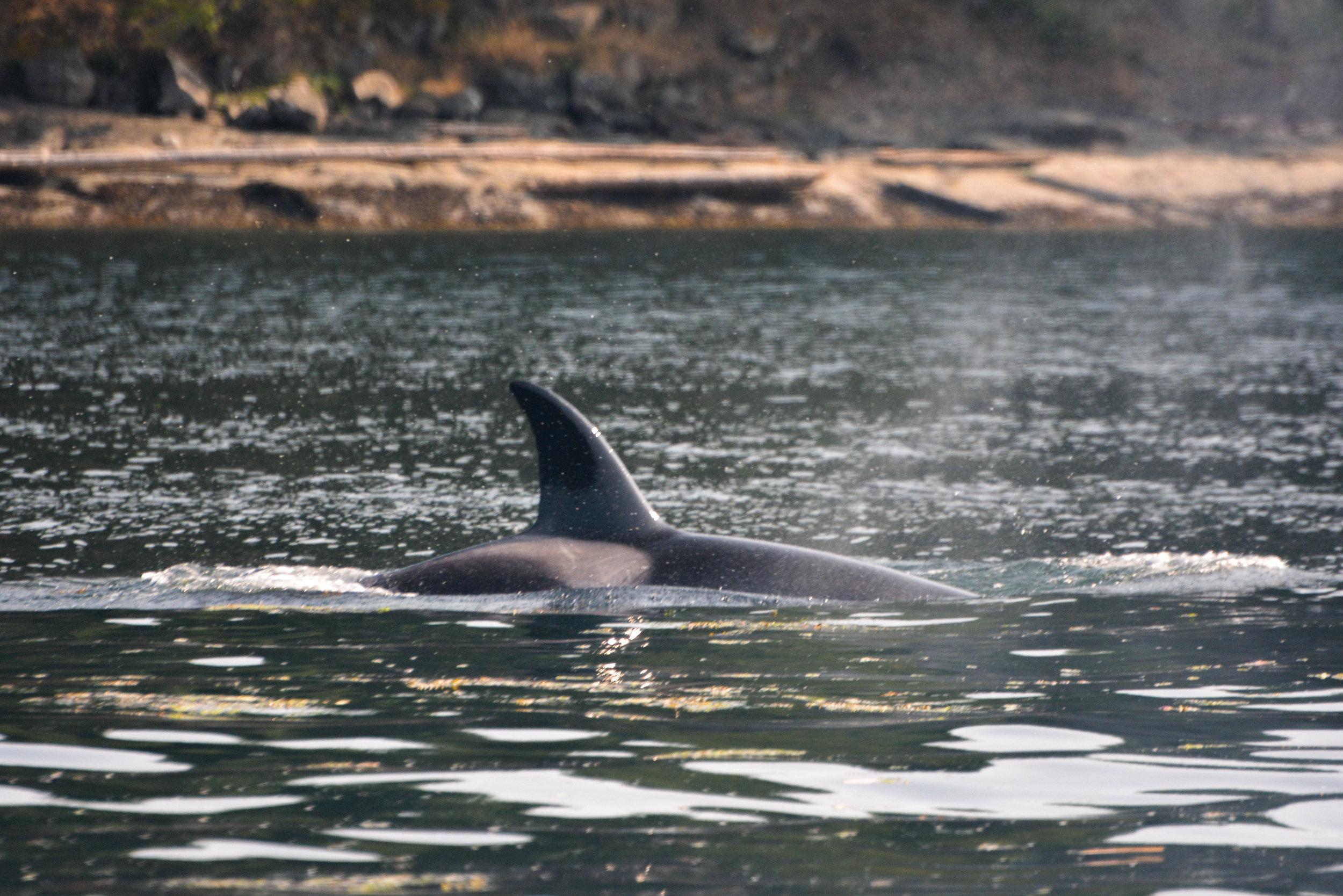 Orca surfacing just off the coastal shores. Photo by Val Watson.