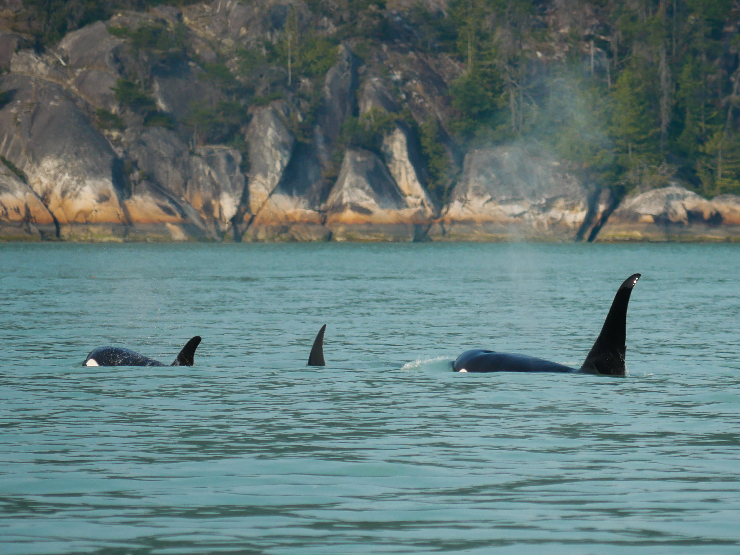 T46E (far right) and two other members surfacing in Howe Sound. Photo by Alanna Vivani.