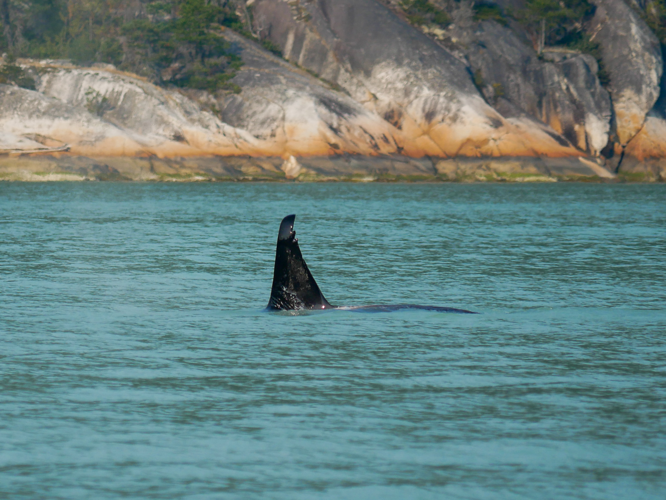 T46D's dorsal fin has very noticeable nicks on the top of it. Photo by Alanna Vivani.