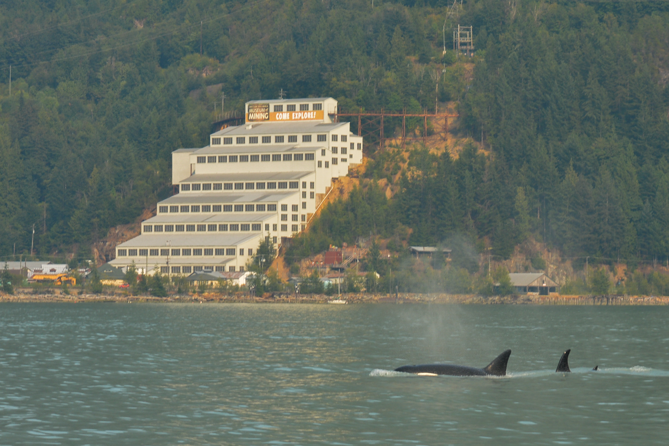 Orcas surfacing just in front of the Britannia Mine Museum. Photo by Jenna Keen.