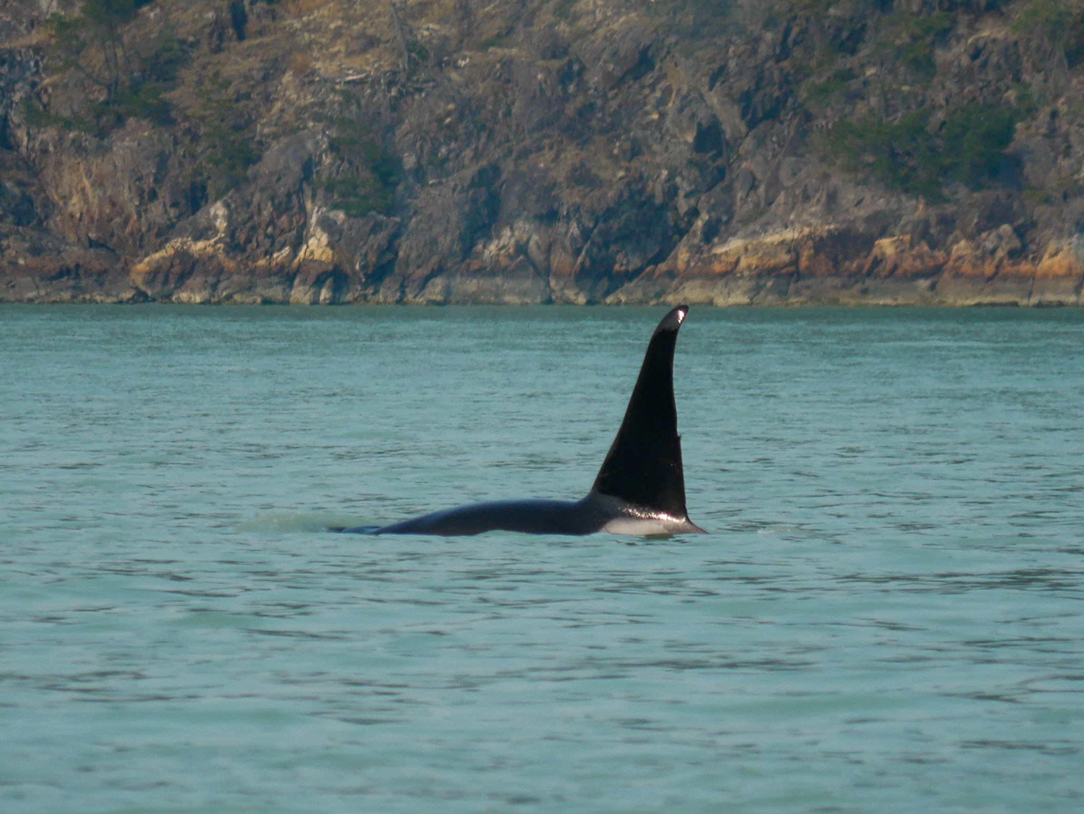 T46E's dorsal fin with the nick right in the middle, he is an 18 year old male orca! Photo by Alanna Vivani.