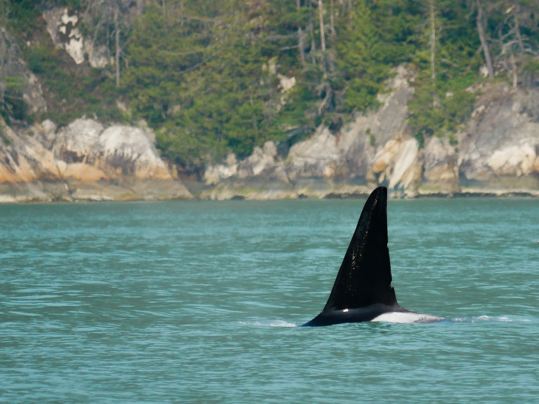 T137A, a 16 year old male orca surfaces. Photo by Alanna Vivani.