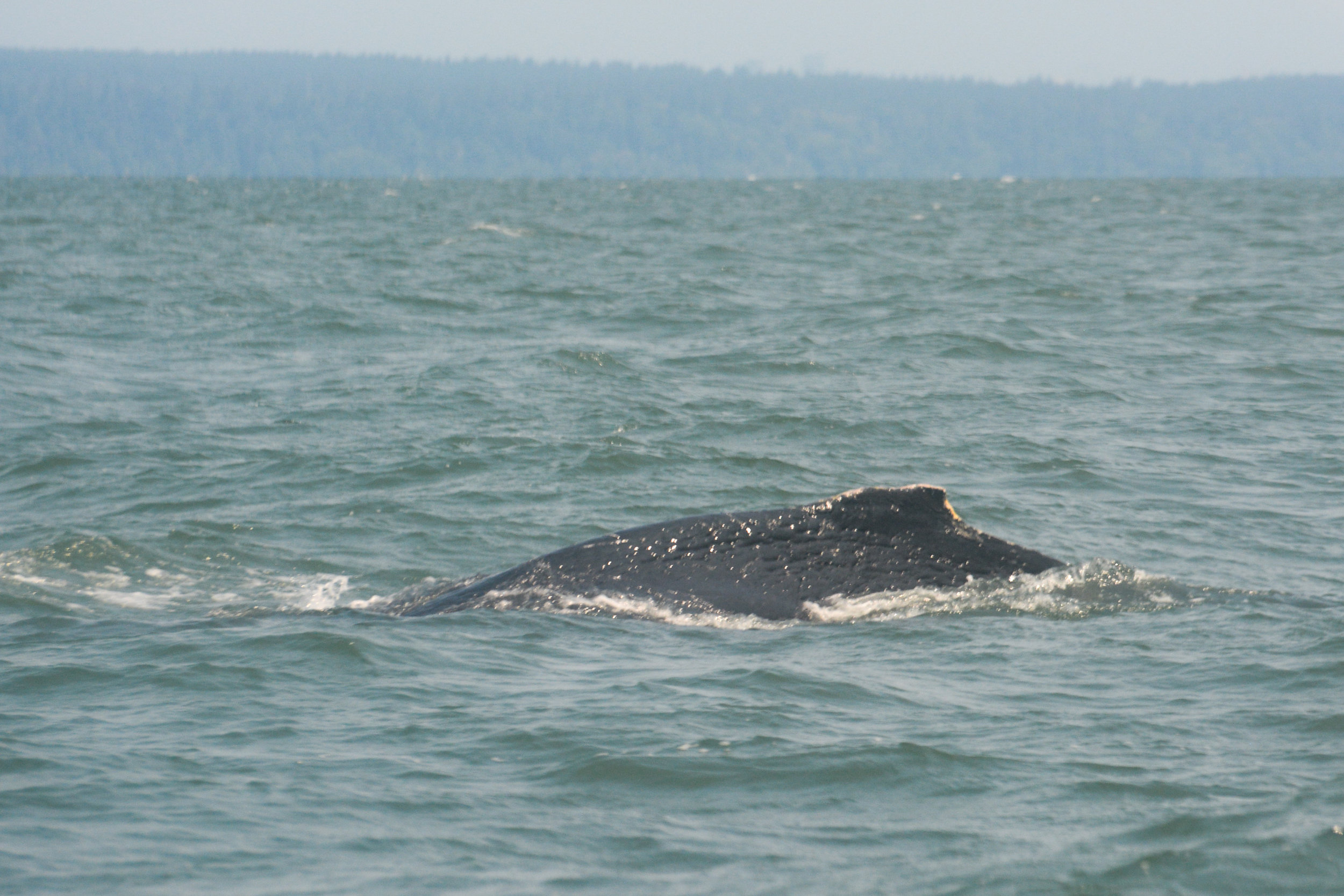 Baby humpback surfacing, see how tiny the dorsal fin is? How cute! Photo by Alanna Vivani.