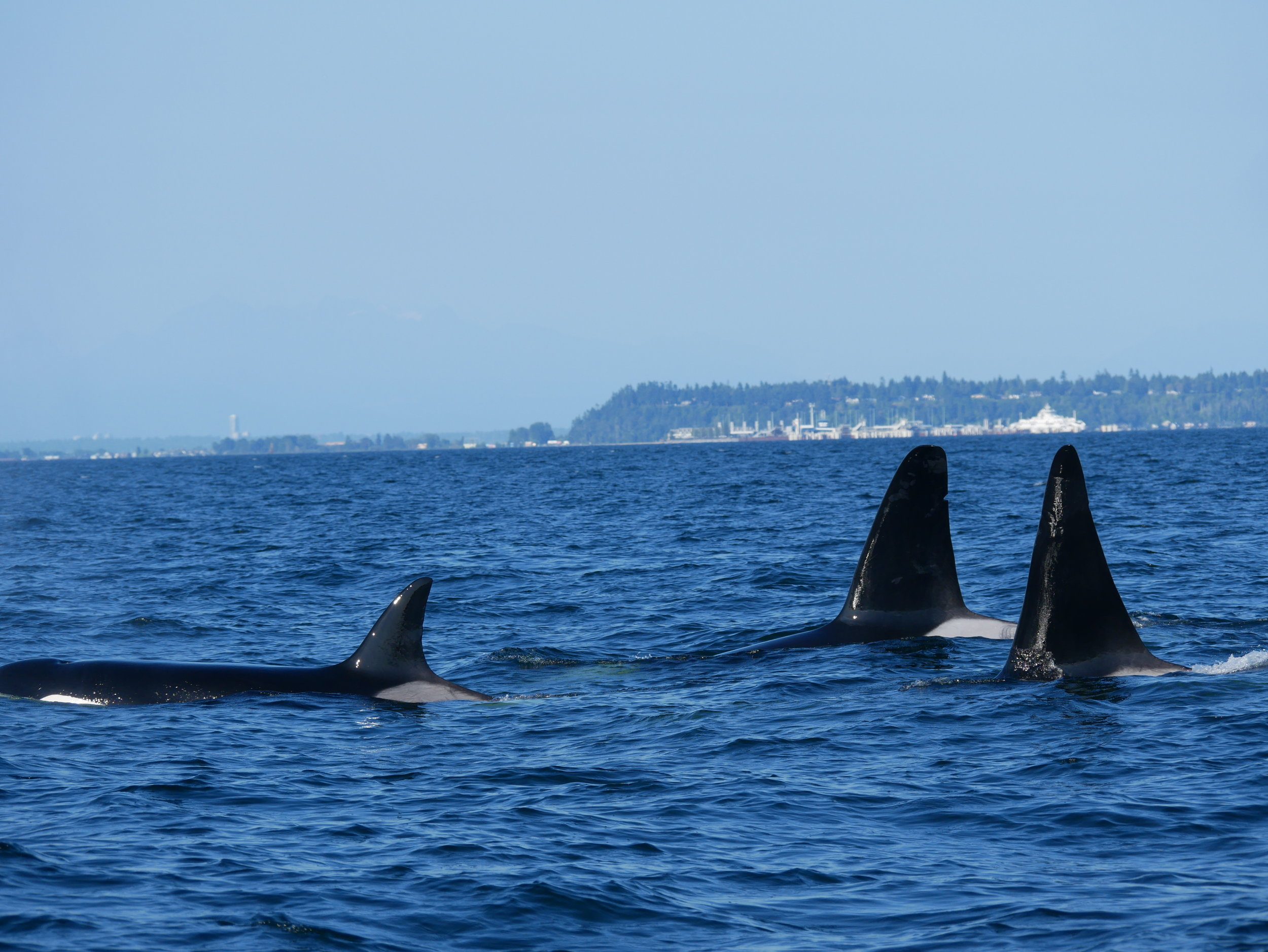 Pictured here is three of the four members of the pod. Named from left to right: T19 (Mooya), T19B, and T19C (Spouter). Photo by Val Watson.