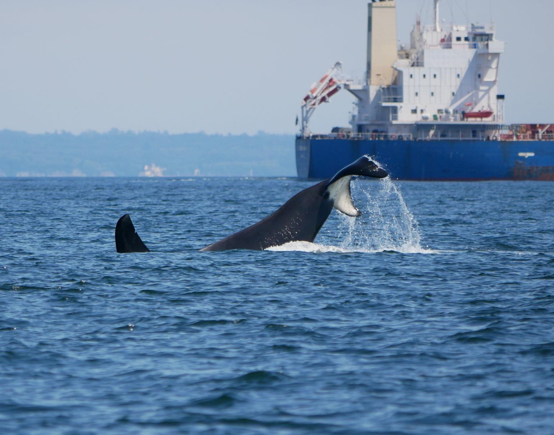 T19B's big tail slap! Photo by Val Watson.