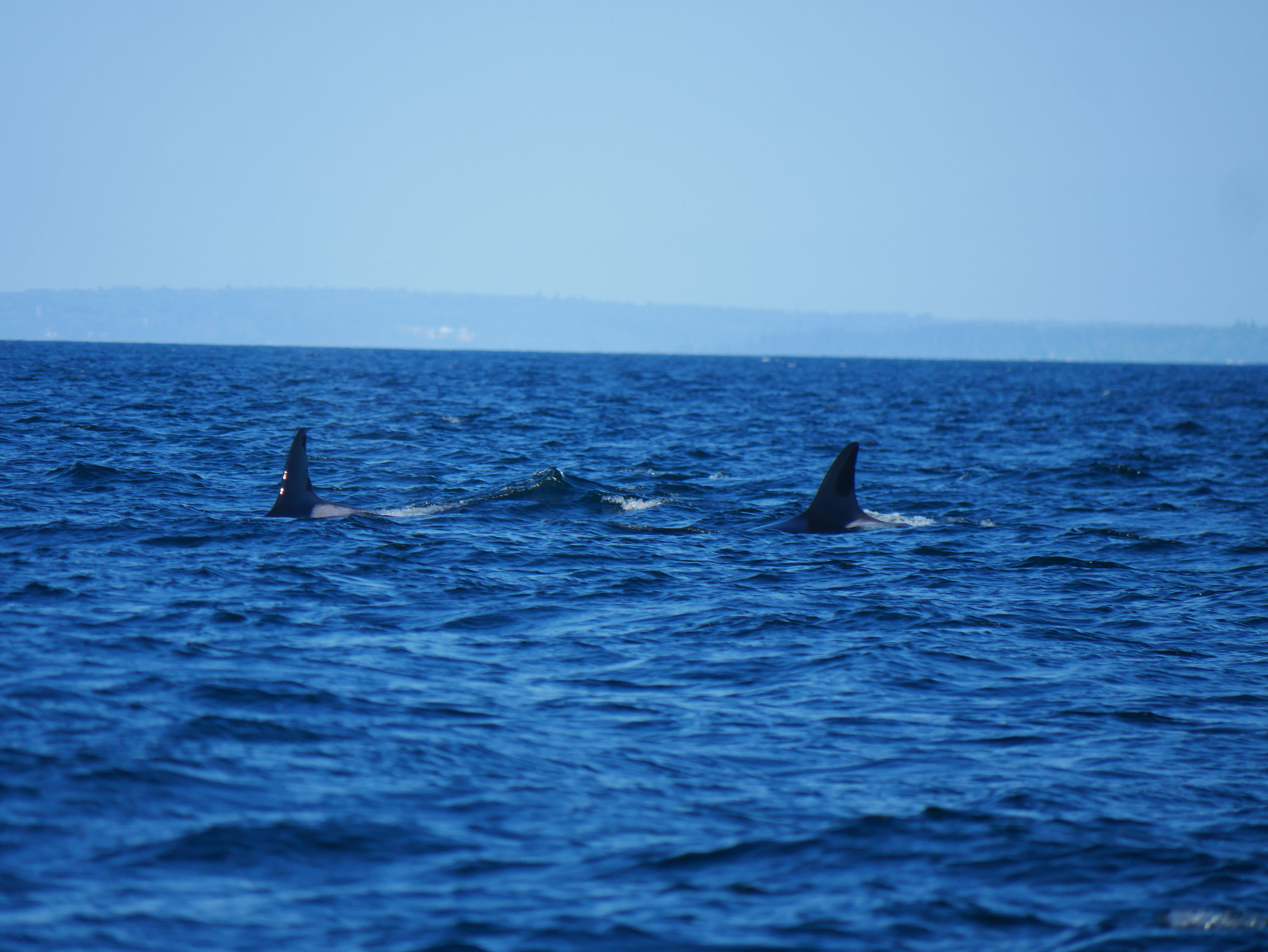 Just the ladies, T18 (Esperanza) left, and T19 (Mooya) right. These whales are aged 44 and 49, respectively. Photo by Val Watson.
