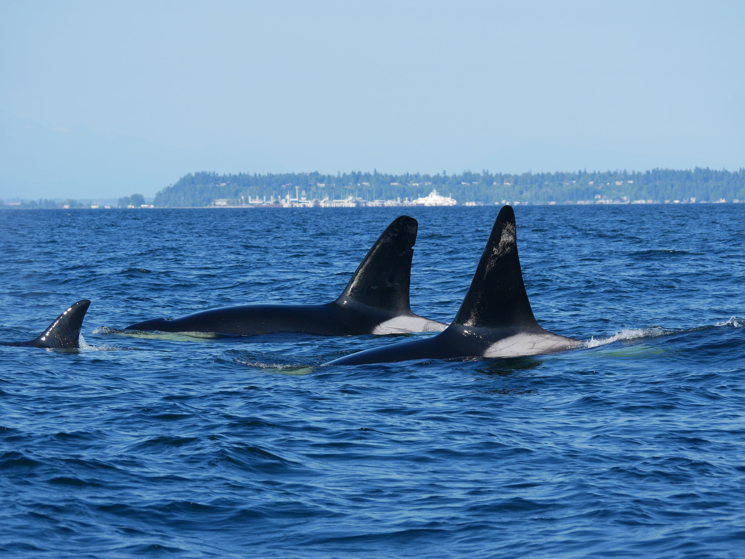 Can't get enough of these guys! These are some of the largest whales in the population. Photo by Val Watson.