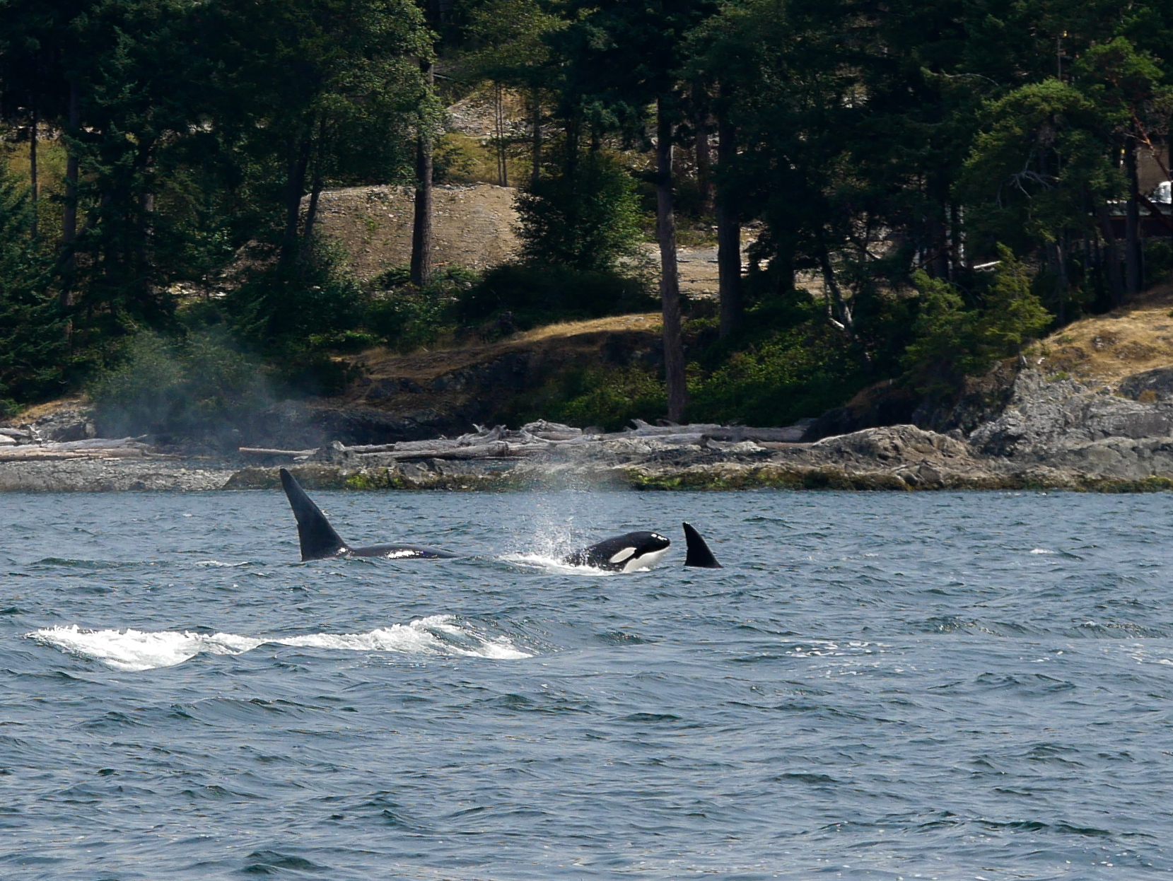Three orcas at different stages of surfacing. Photo by Jilann Campbell.