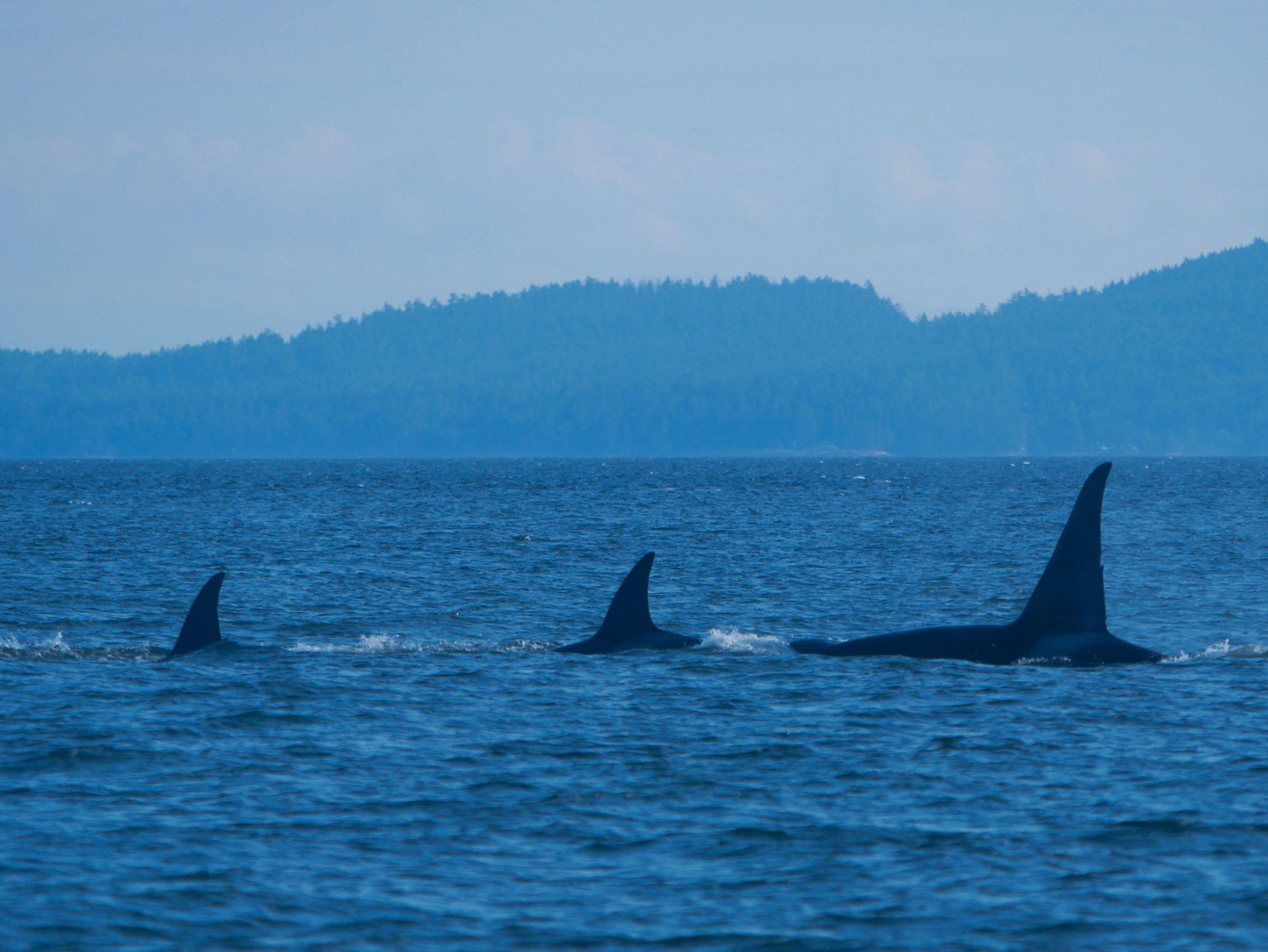 You can really see the size difference in dorsal fins as the orcas surface at the same time. Photo by Rodrigo Menezes.