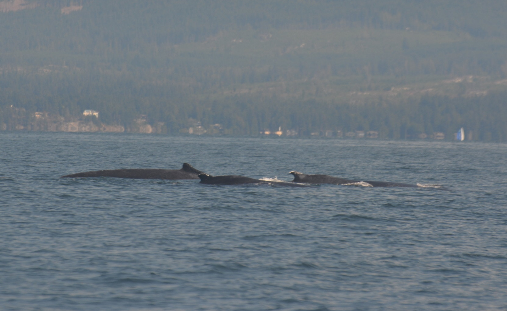 Three humpbacks surfacing together! Zorro, Split Fluke, and Heather. Photo by Val Watson