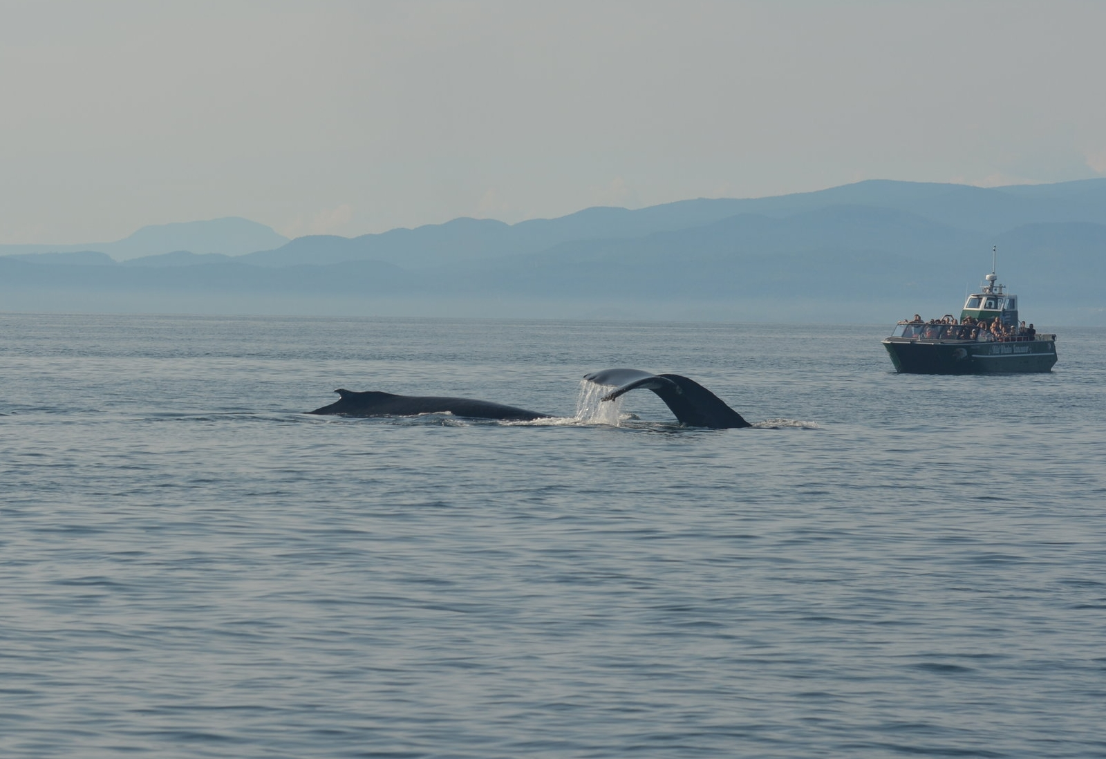 Humpbacks galore! Photo by Rodrigo Menezes.