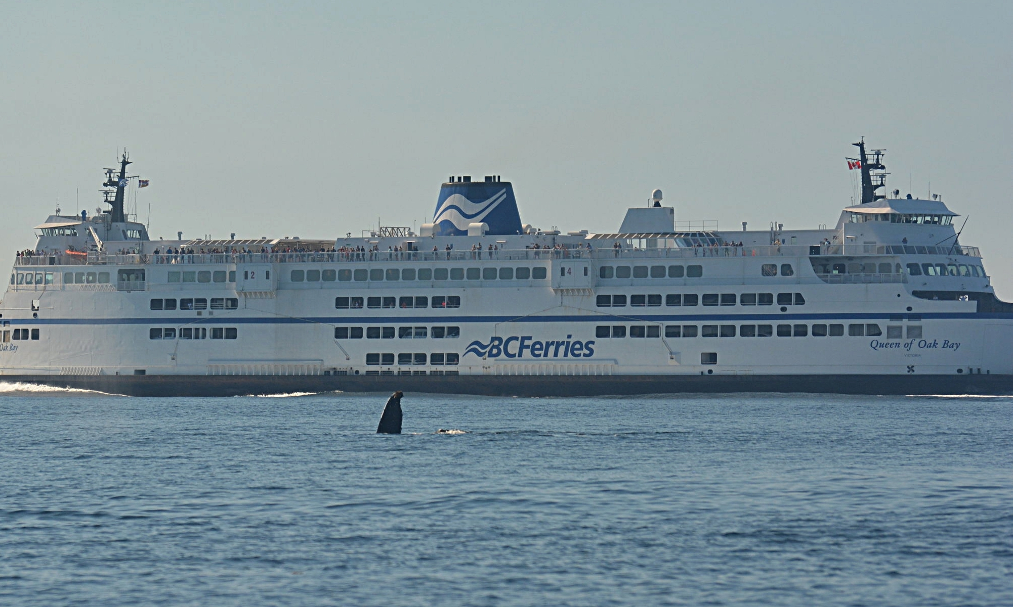A humpback whale flashing a fluke in front of the BC ferries. Photo by Alanna Vivani.