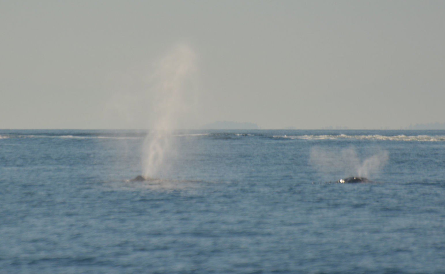 Two humpbacks whales exhale through water in unison. Photo by Alanna Vivani.