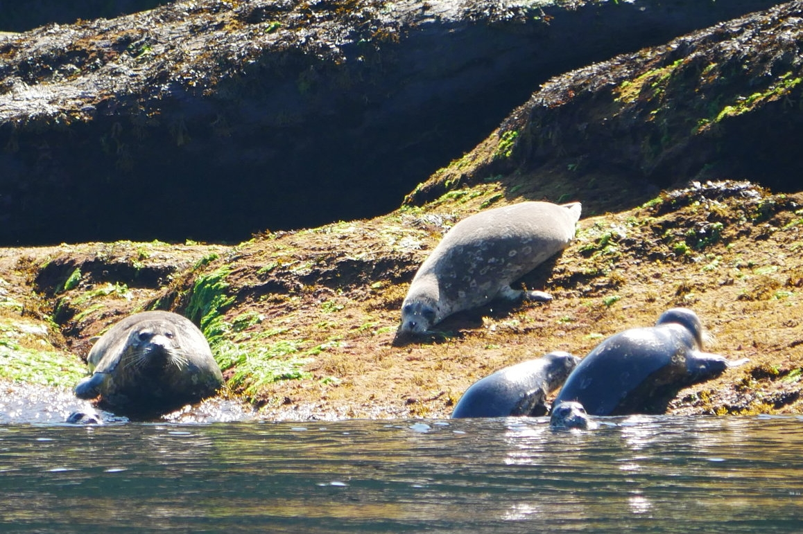 Our boat undergoing four death stares and two cases of indifference from harbour seals. Photo by Alanna Vivani.