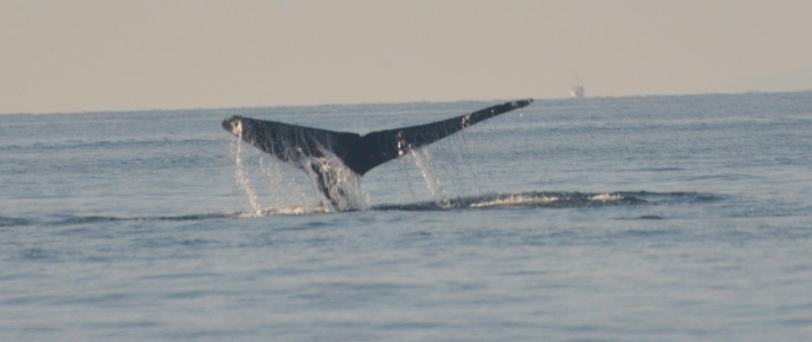 Water spilling off of the flukes of a humpback whale as it goes for a deep dive. Photo by Alanna Vivani.
