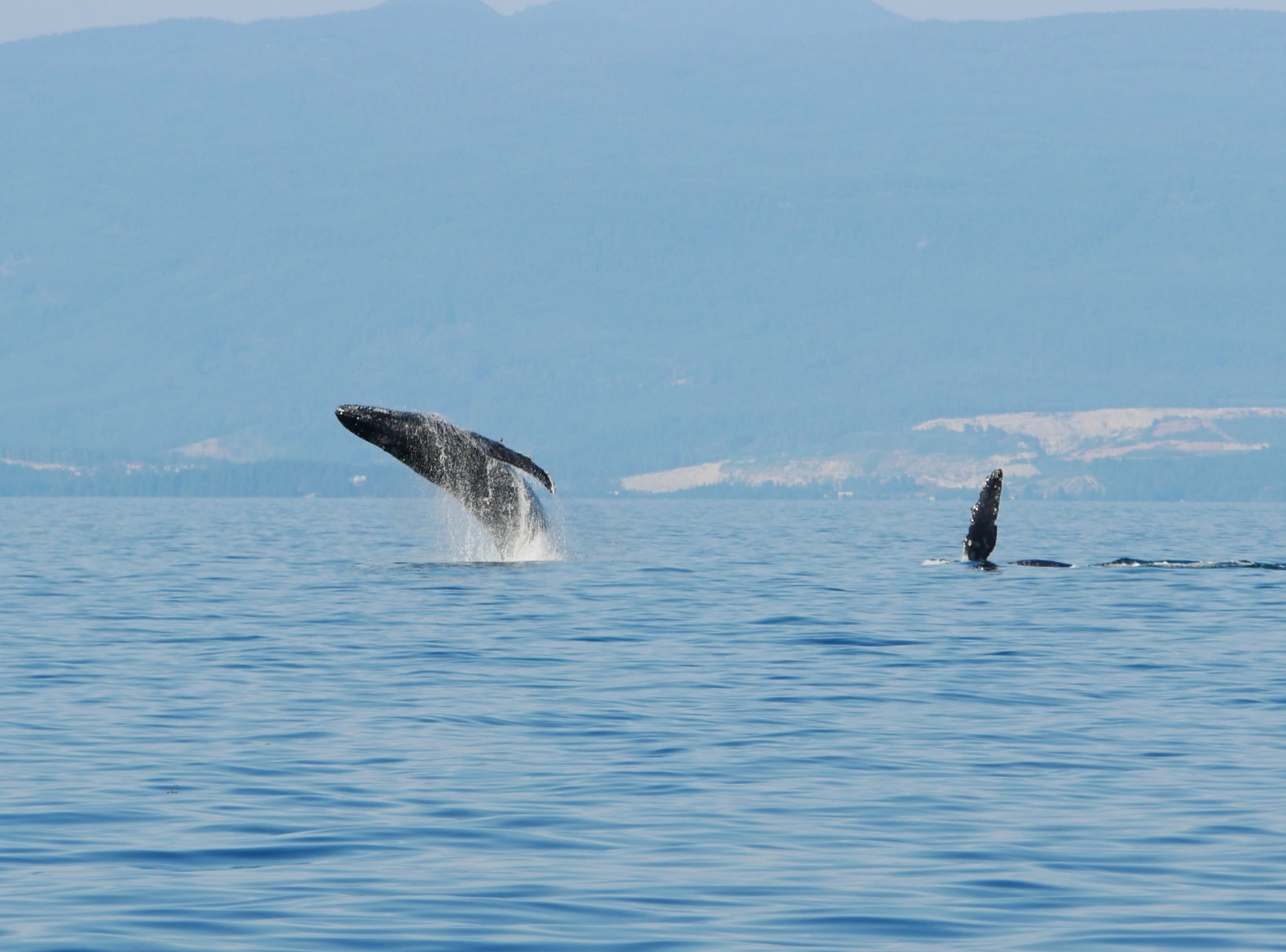 Breach (left) and pectoral wave (right) of these very active humpbacks. Photo by Rodrigo Menezes.