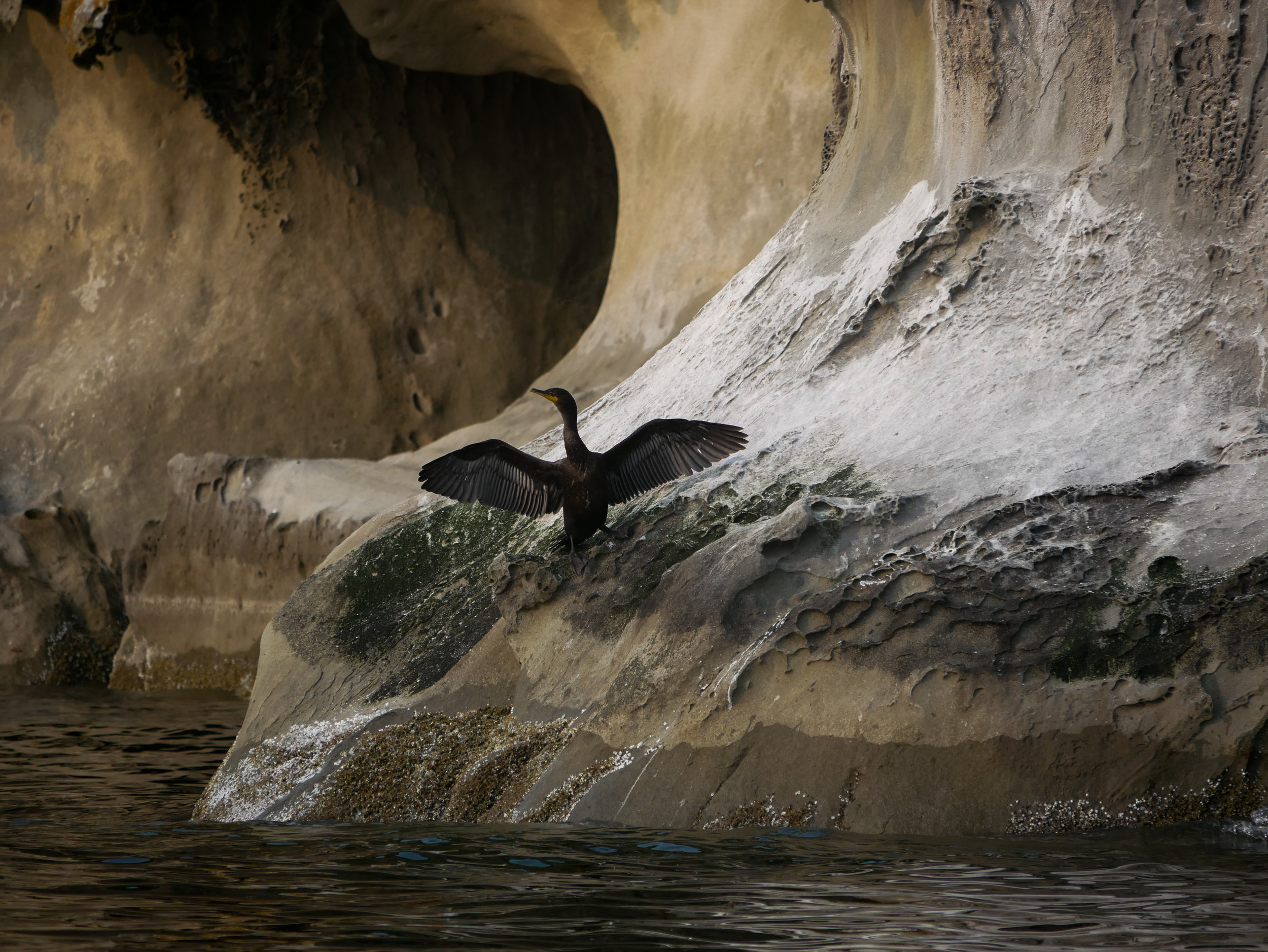 A cormorant drying out its wings after a deep dive! Photo by Alanna Vivani