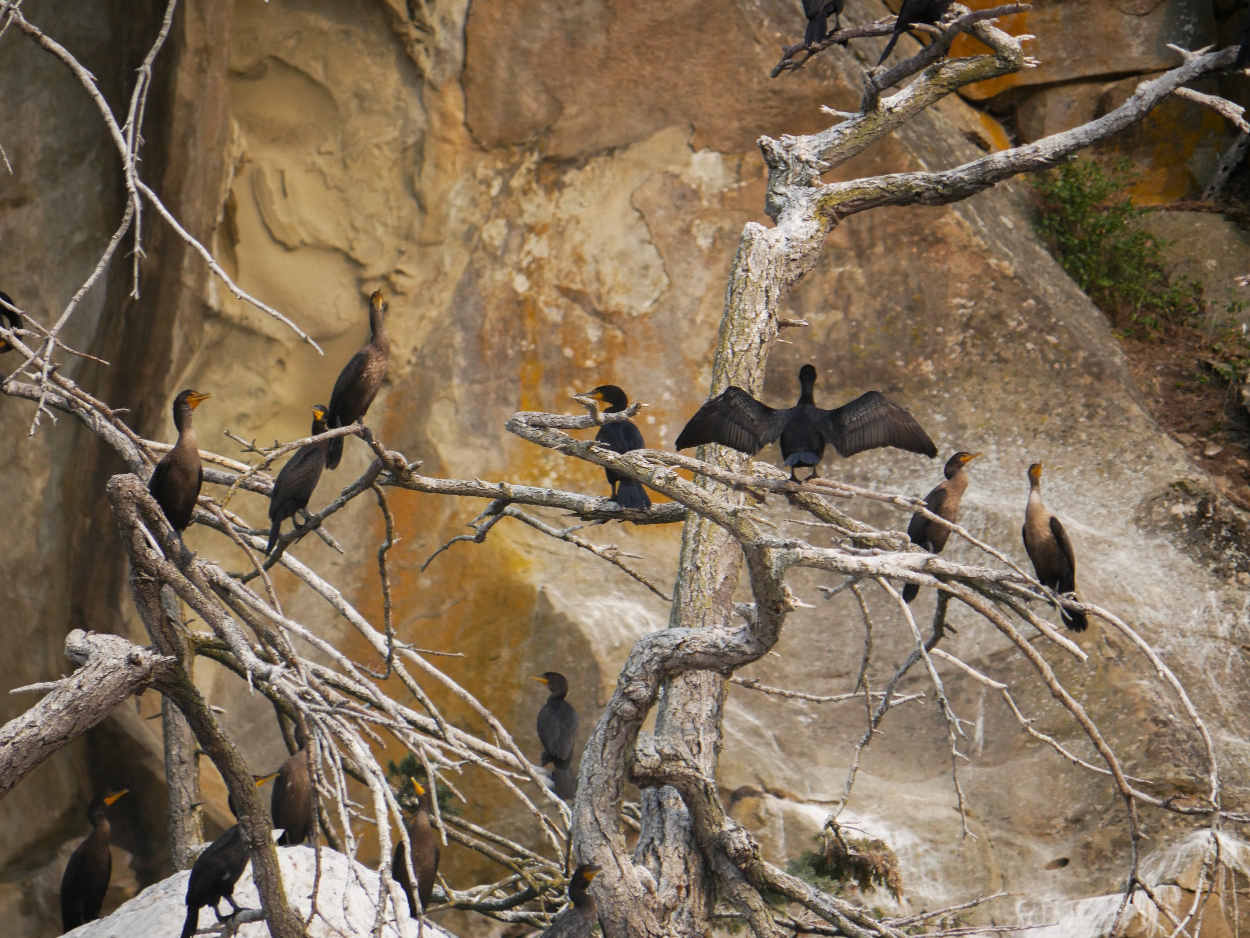 Many juvenile Double-crested cormorants taking a break on an old tree near Gabriola Island. Photo by Alanna Vivani