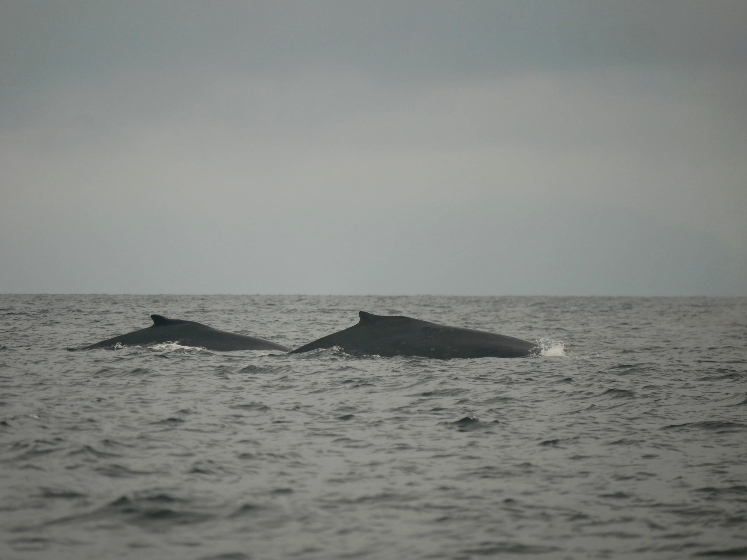 Two humpbacks is double the fun! Photo by Alanna Vivani