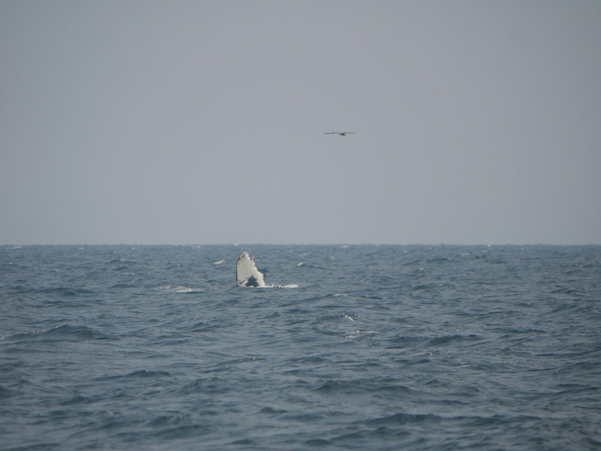 Pec fin slipping back into the water. Photo by Rodrigo Menezes.