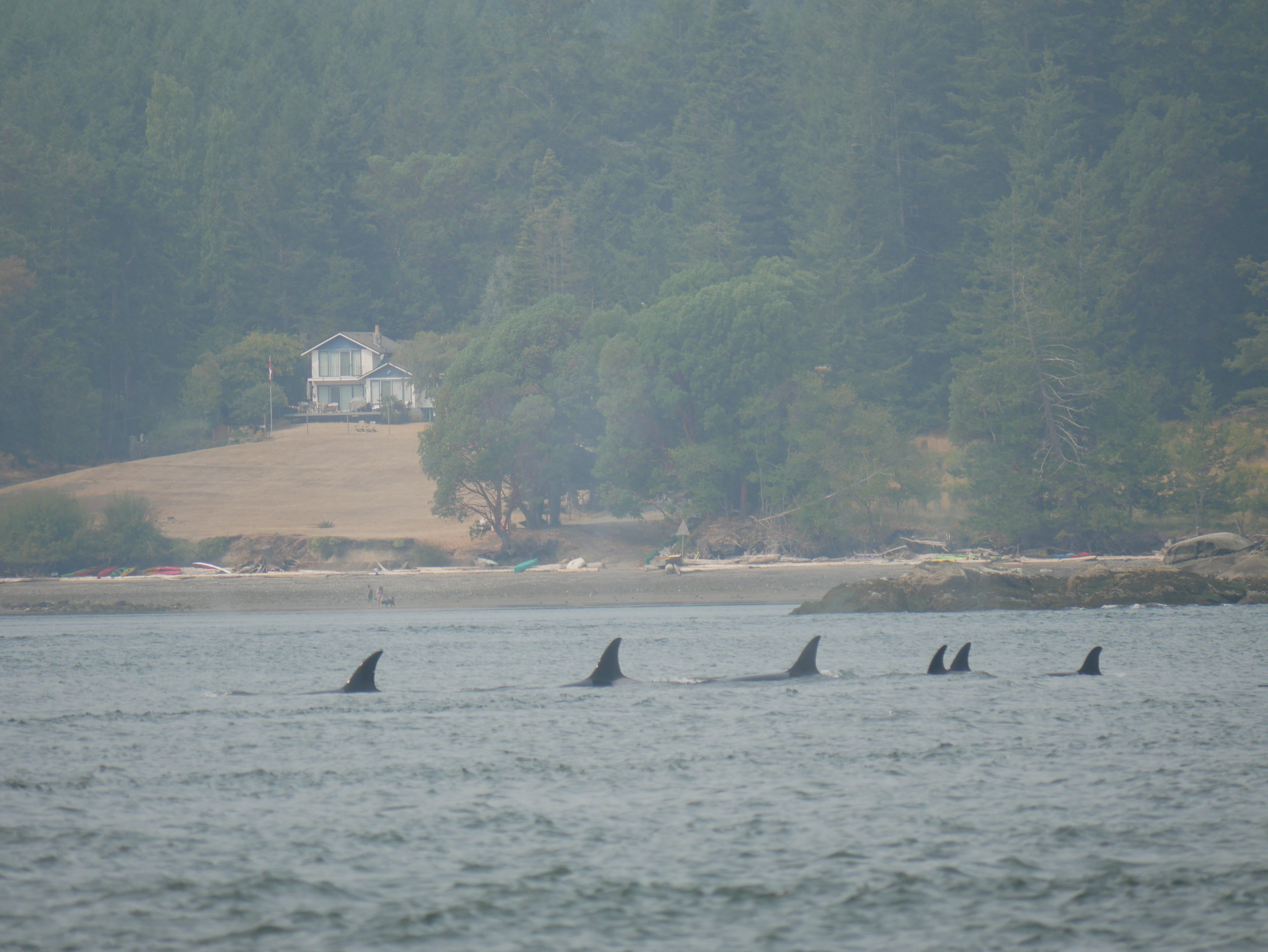A surfacing of six orca at the same time! Amazing! Photo by Val Watson.
