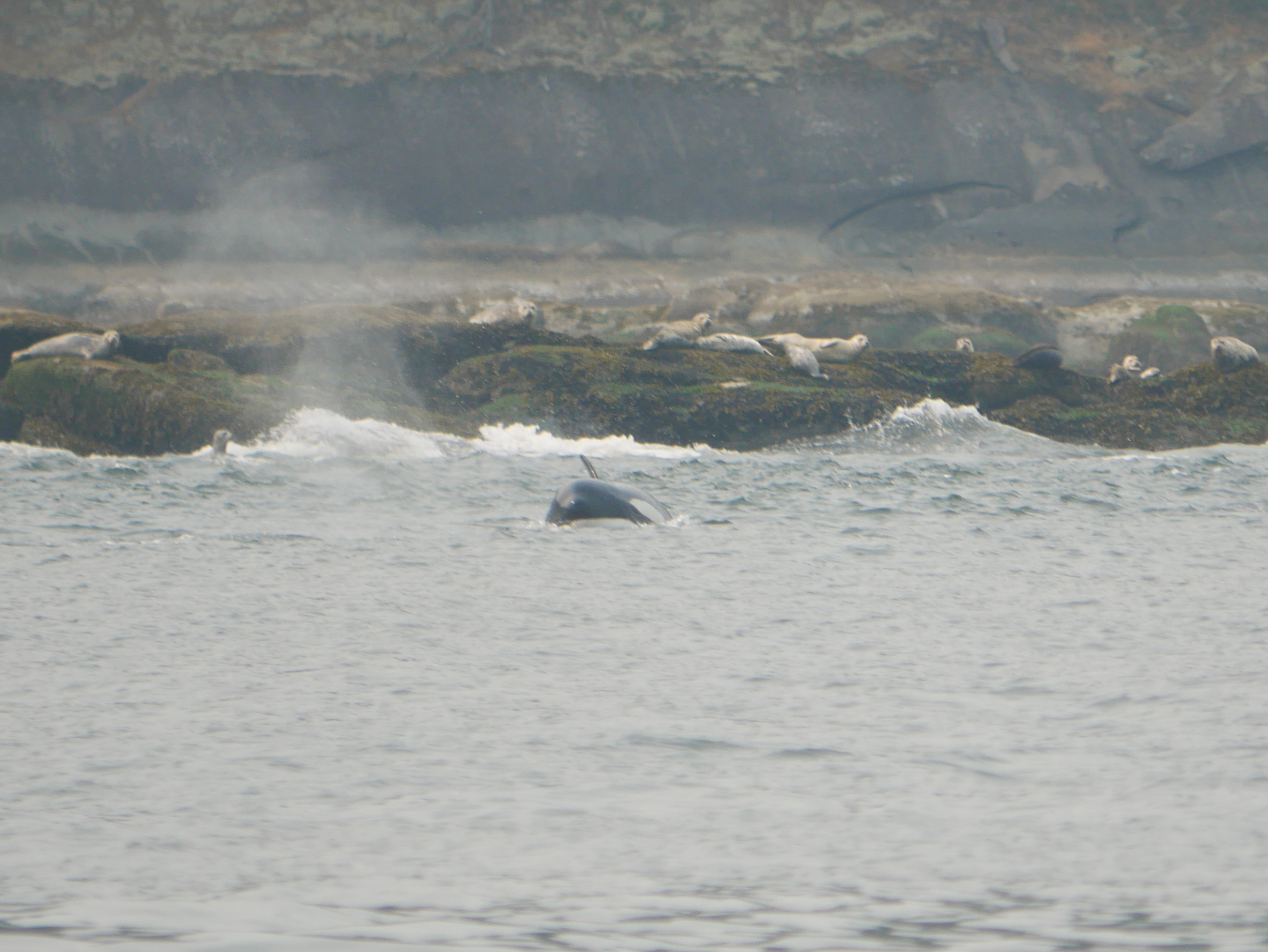 Peaking out of the water during the hunt. Check out those scared seals in the background. Photo by Val Watson.