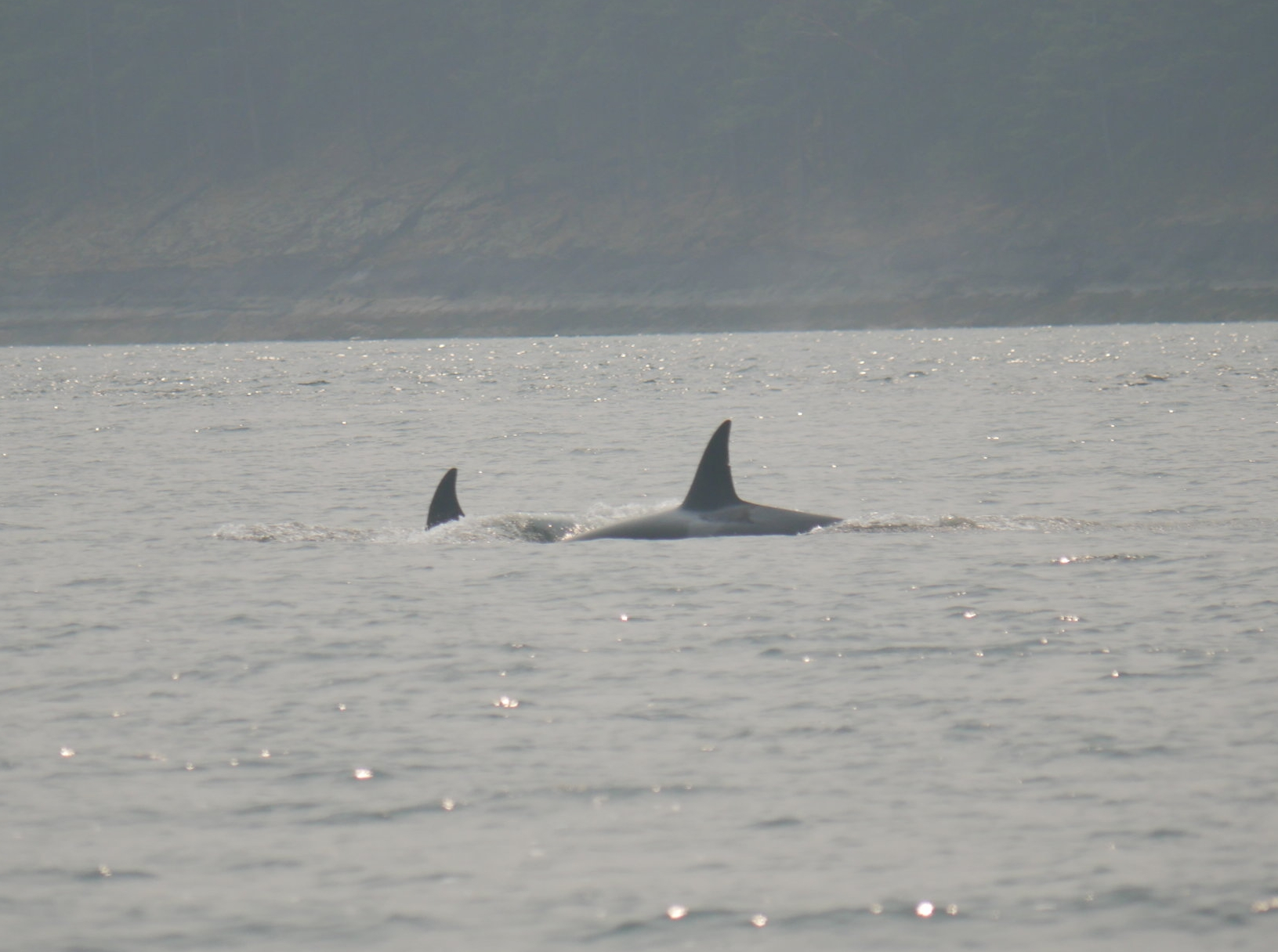 T36A1 Tierna sporting a new nick on their dorsal. Photo by Val Watson