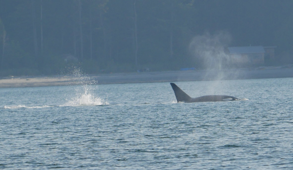 A male orca surfacing just as another orca made a splash beside him. Photo by Jenna Keen.