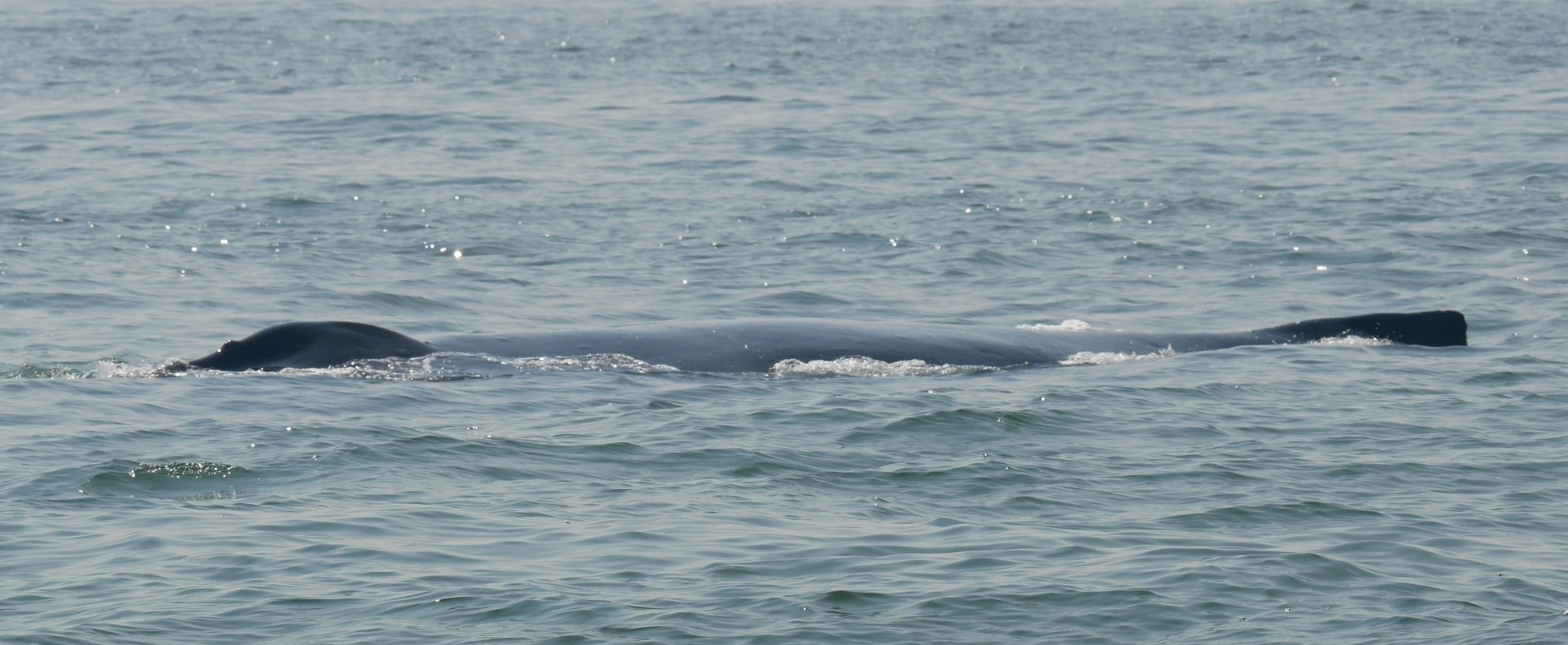 The blow-hole and dorsal fin of Zig-Zag the humpback as she surfaced for air. Photo by Jenna Keen.