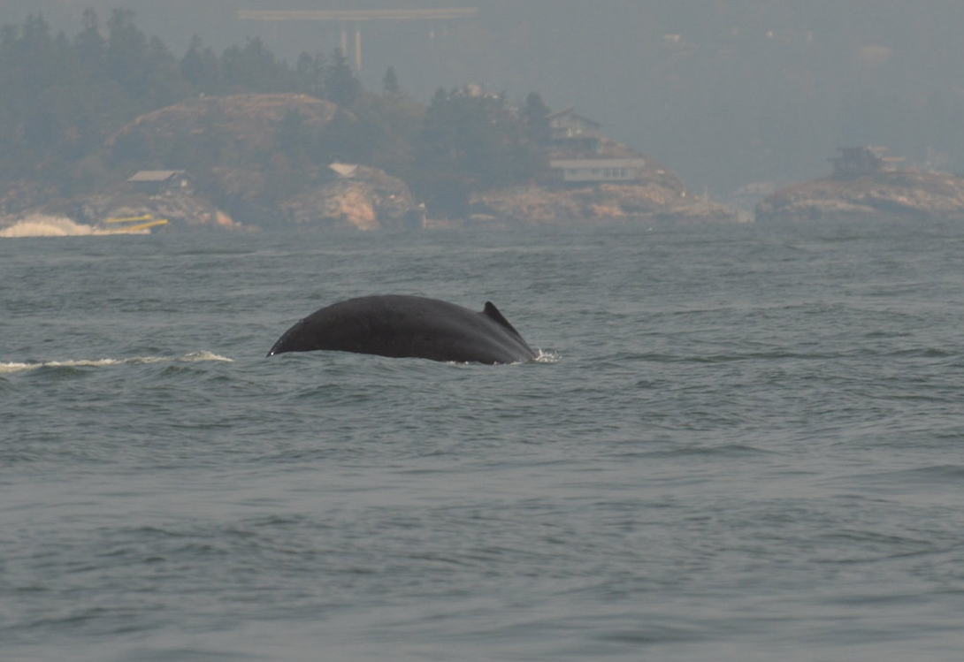 The arching back of the whale as she prepared to take a deep dive. Photo by Rodrigo Menezes.