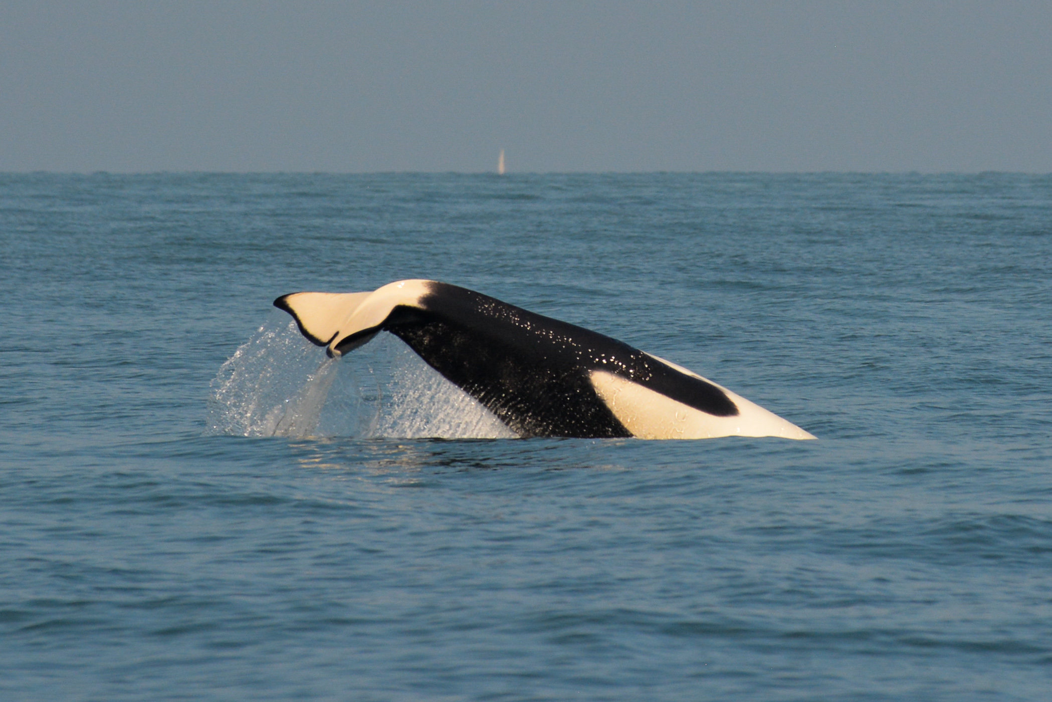 Action shot of an orca cartwheel! Photo by Val Watson - 10:30 tour.