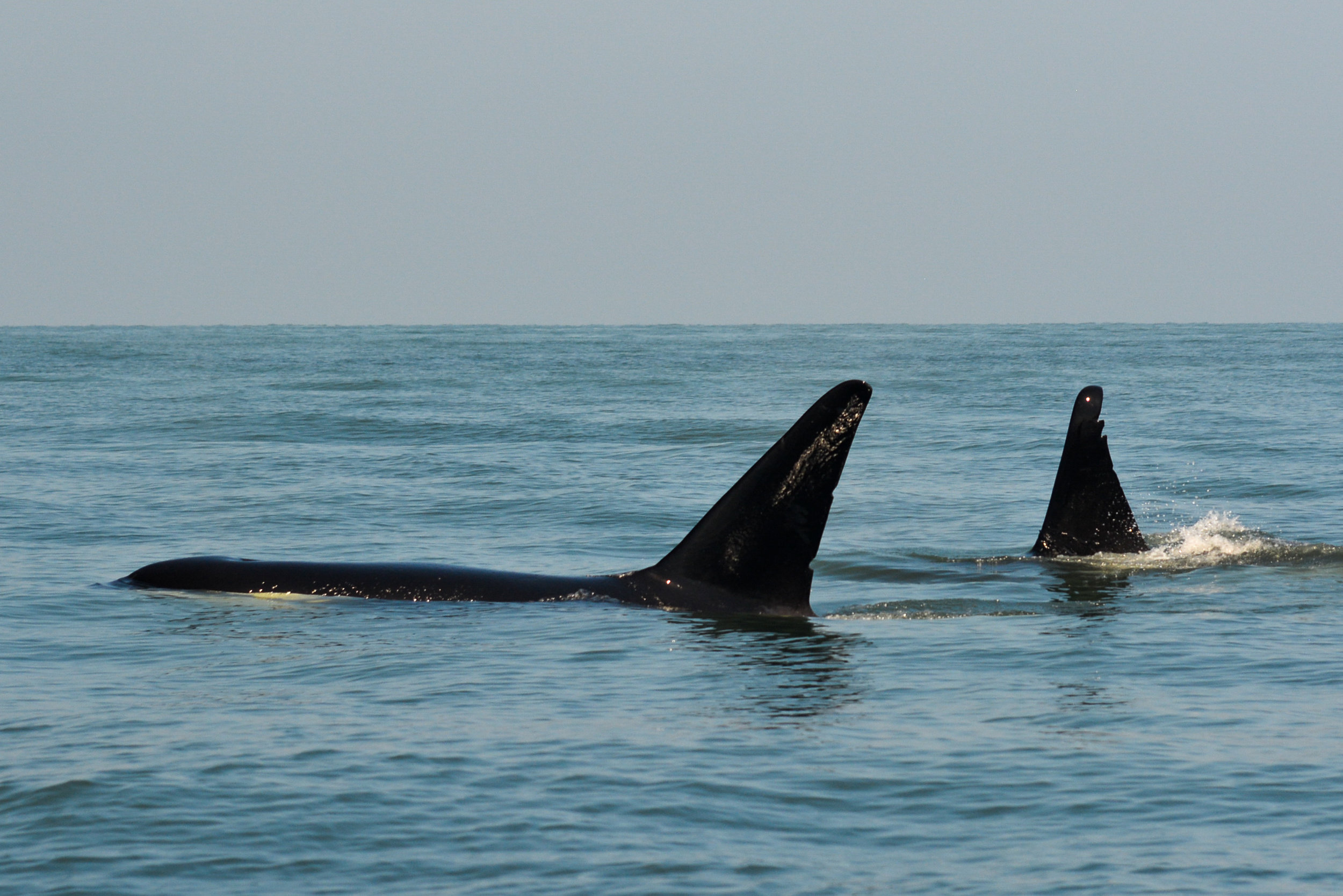 T46 (left) and her 18 year old offspring, T46D (right) surfacing. Photo by Val Watson - 10:30 tour.