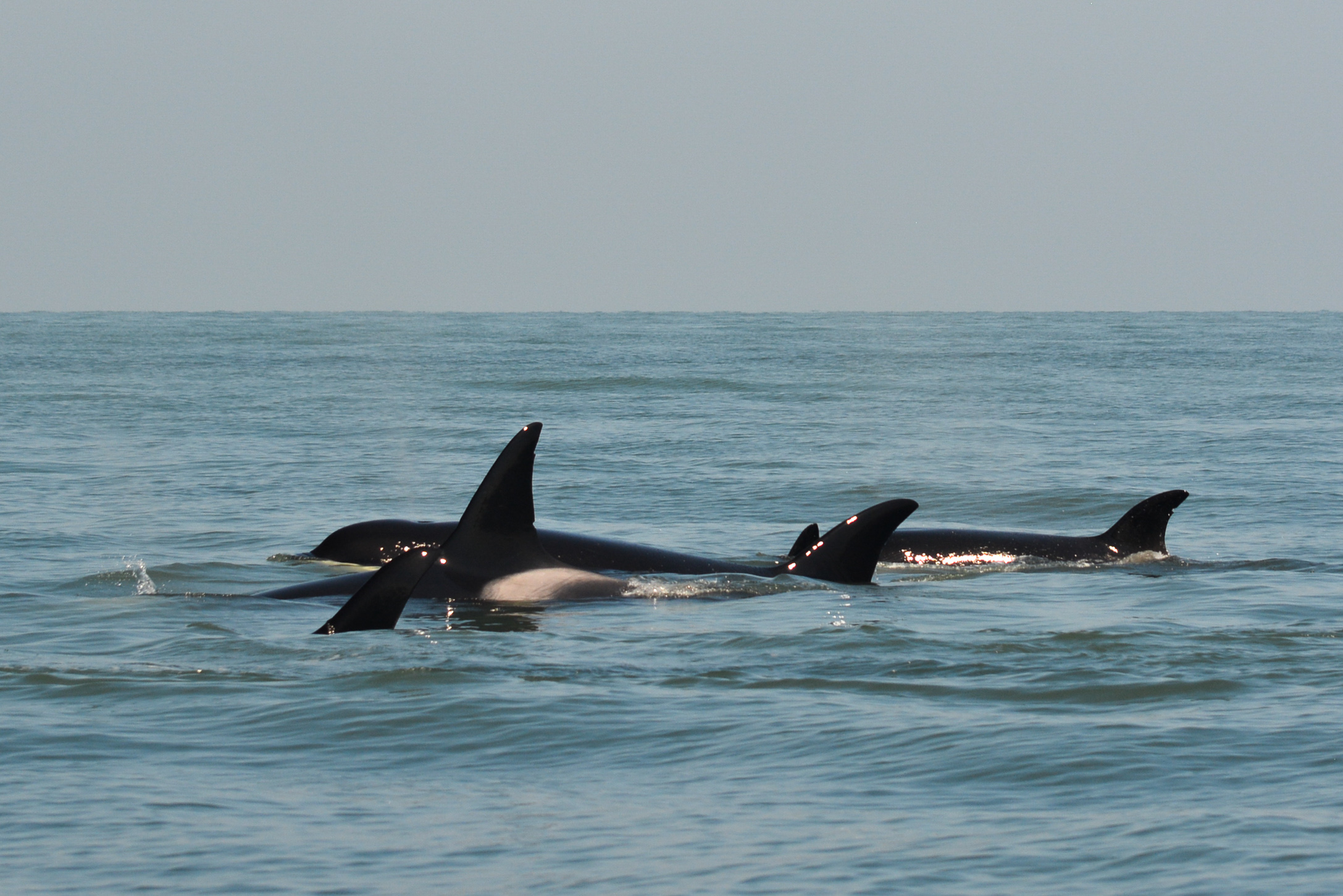Can you spot all 5 orcas in this shot? Photo by Val Watson - 10:30 tour.