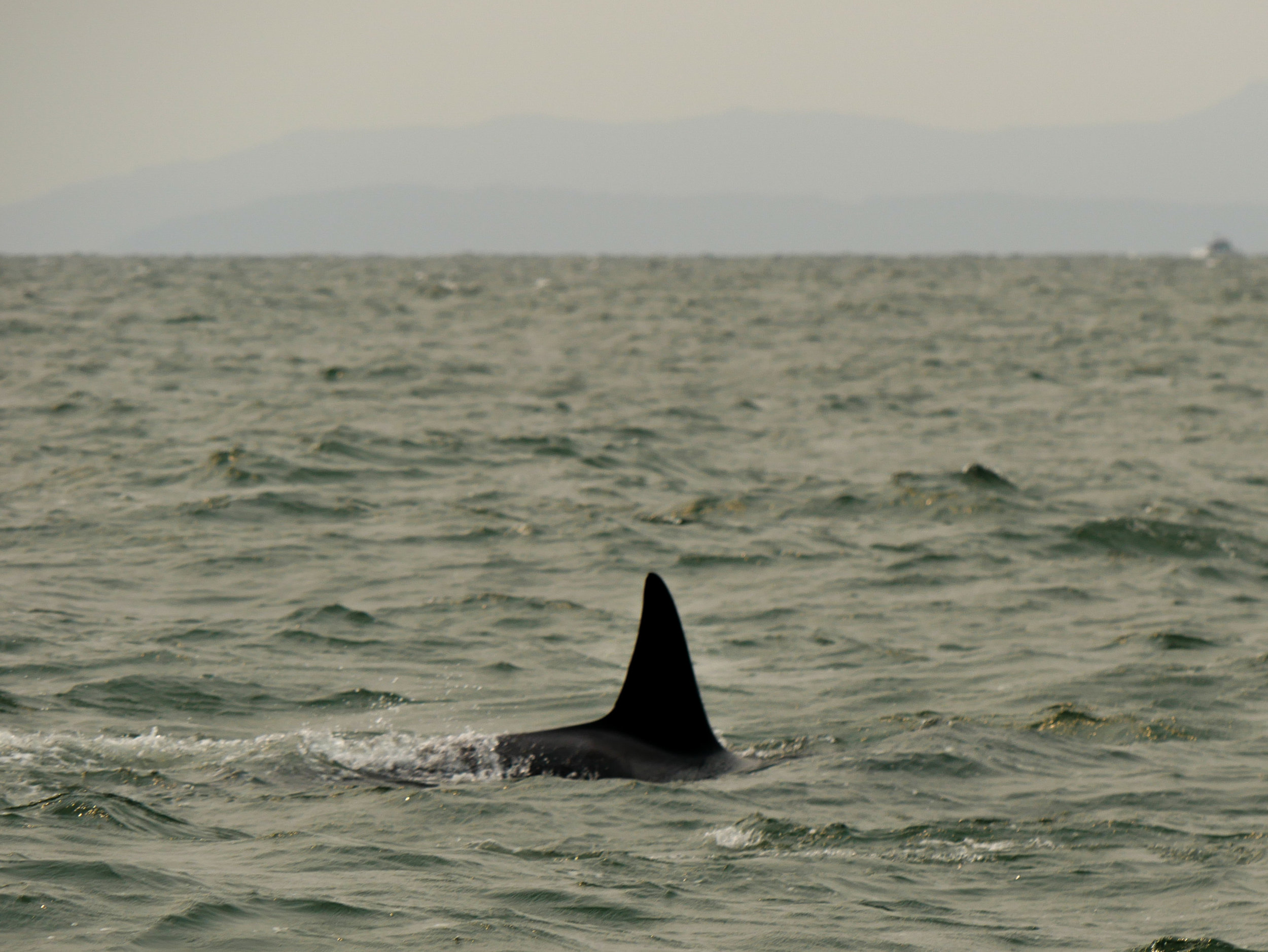 Orca dorsal fins come in all different shapes and sizes! Photo by Rodrigo Menezes - 10:30 tour.
