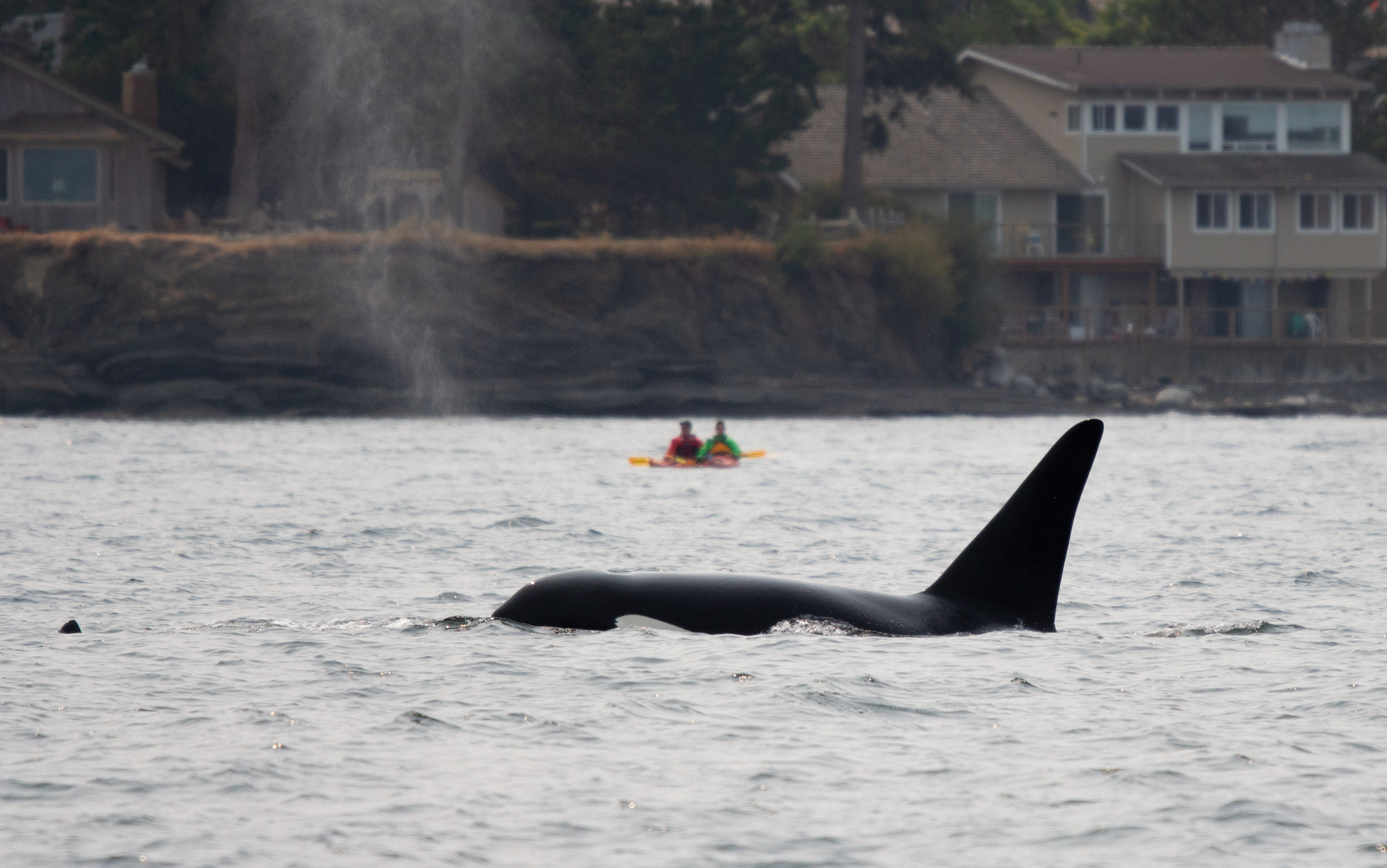 """""""Rocky""""/T2C1 travels slowly in front of a couple of kayakers.Photo by Natalie Reichenbacher"""