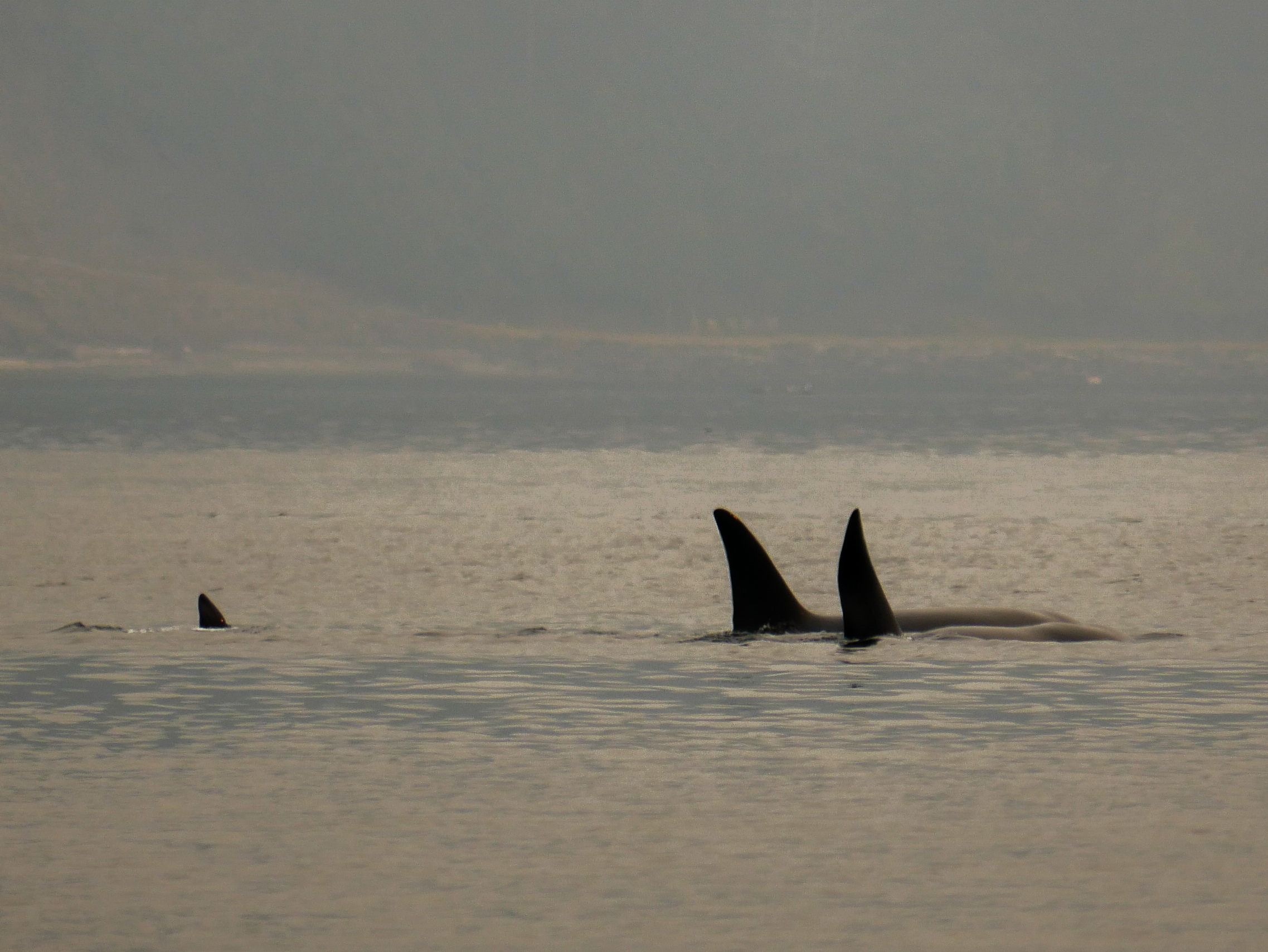 Tumbo (T2C2) on the far right with his mom T2C. You can see evidence of the scoliosis through the dorsal fin bends. Photo by Val Watson.