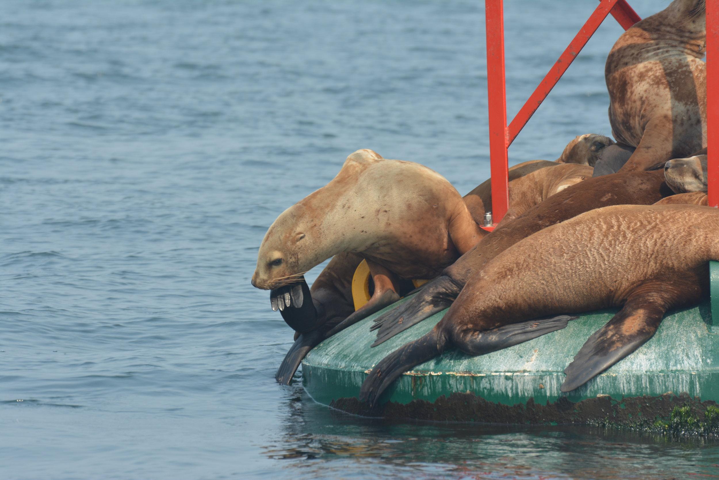Itchy sea lion! Photo by Alanna Vivani.