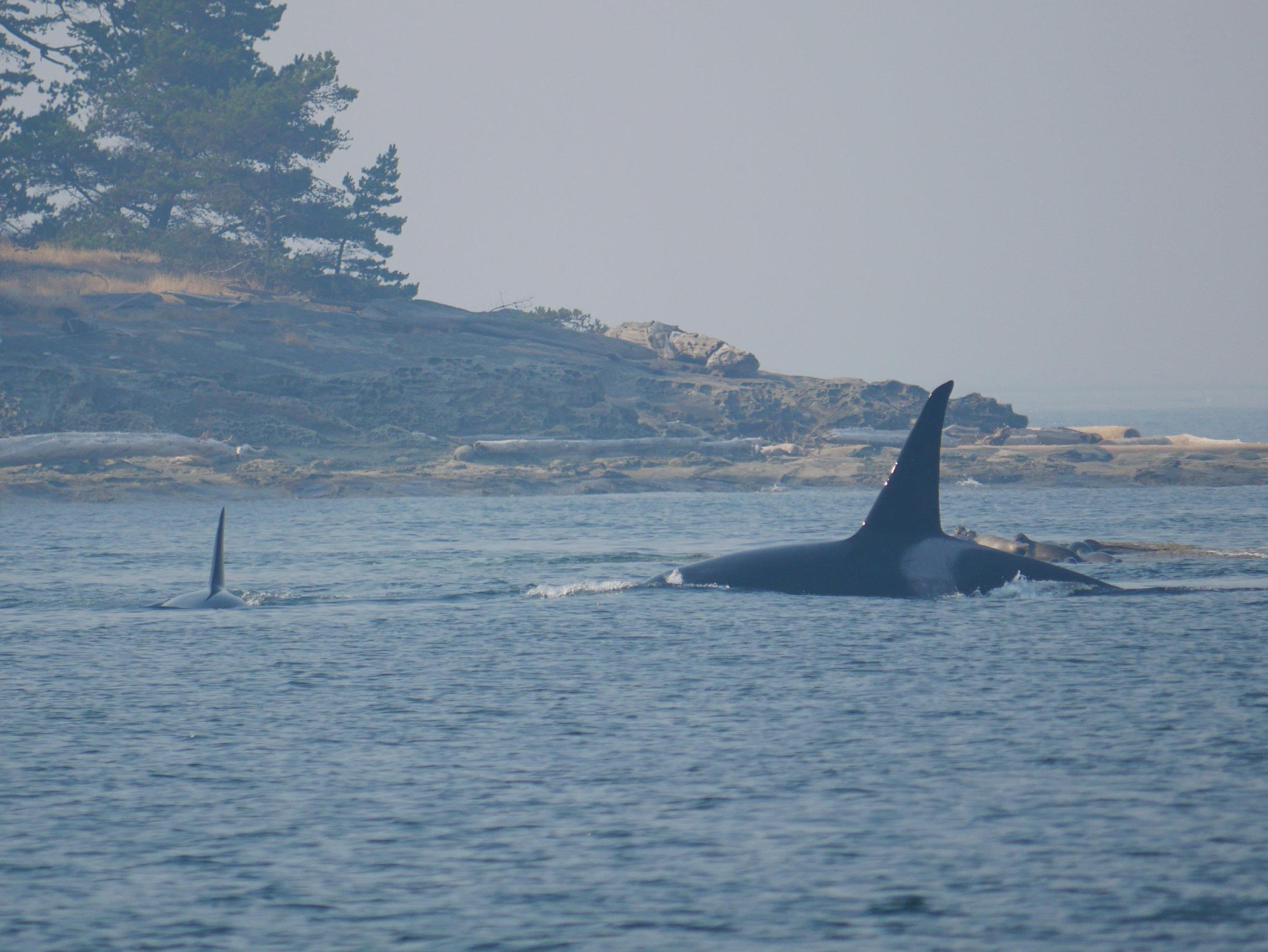 Rocky (T2C1) scaring the seals.Photo by Alanna Vivani.