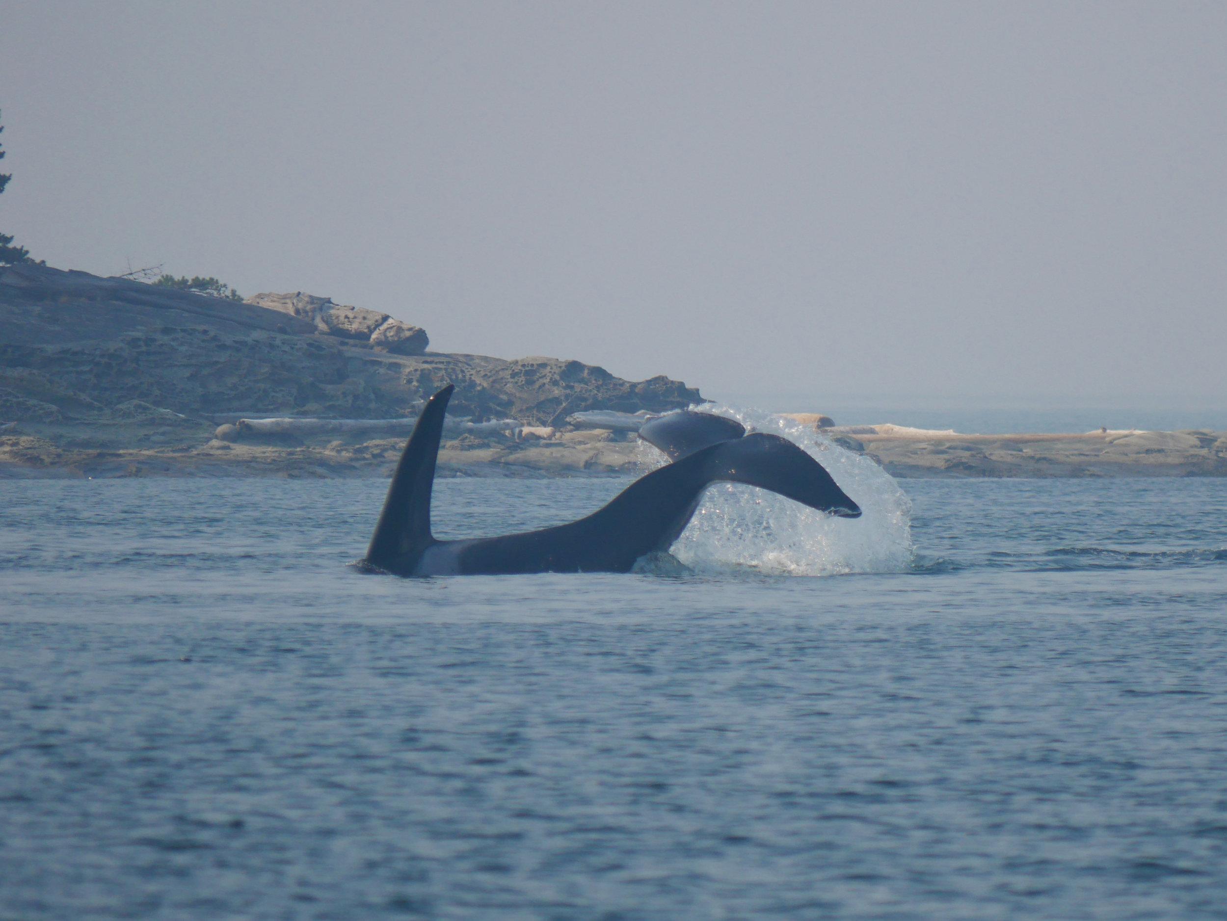 Another tail slap!Photo by Alanna Vivani