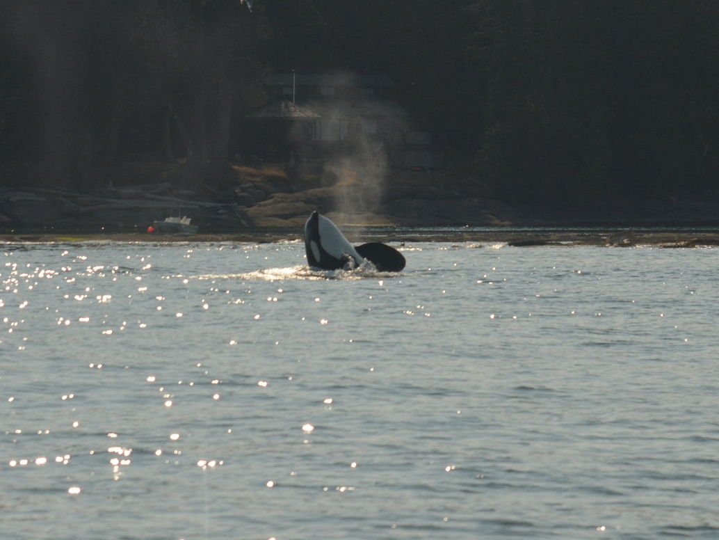 A curious killer whale casually surfacing with a spy hop! Photo by Jenna Keen.